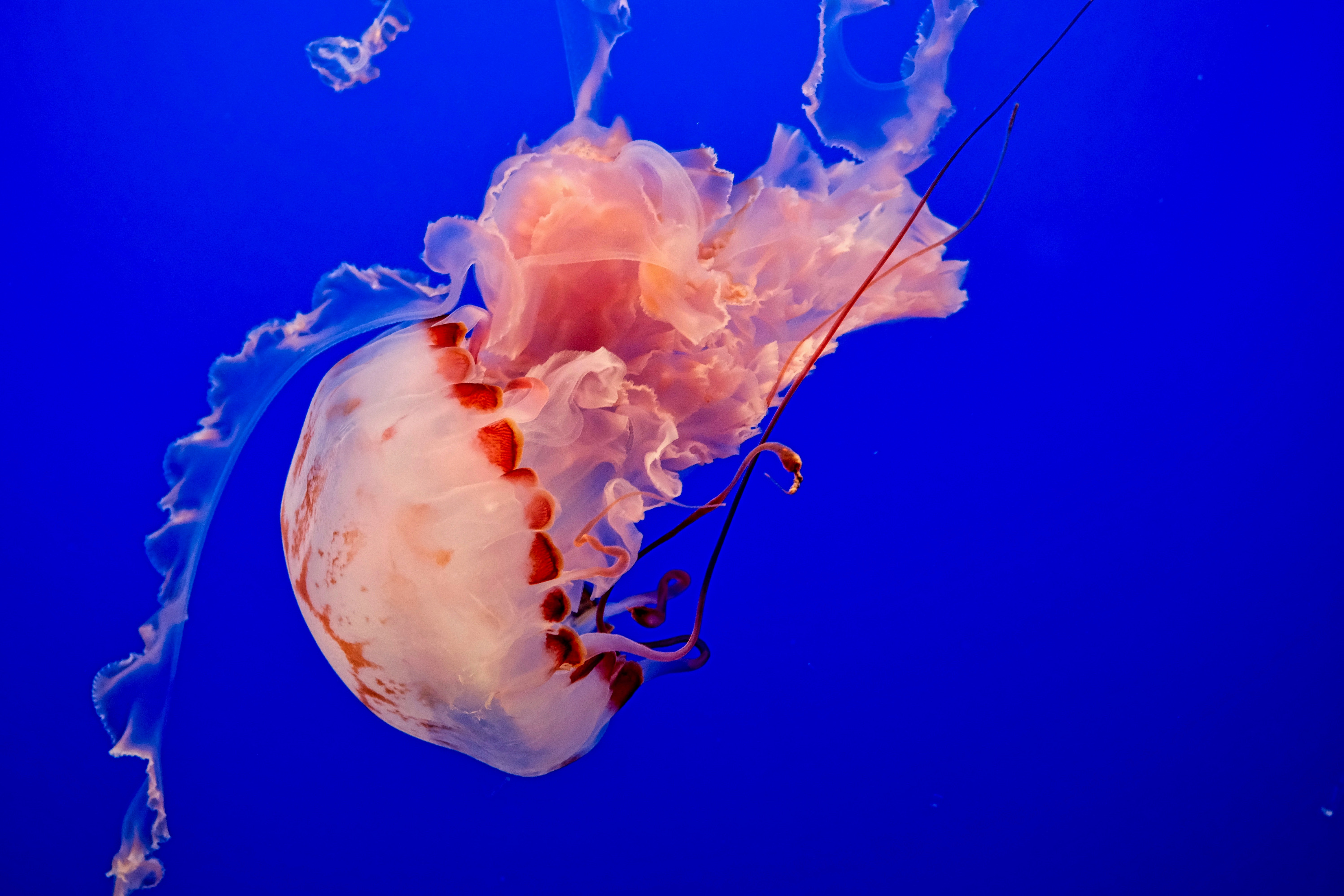 83177 download wallpaper Animals, Jellyfish, Underwater World, Tentacles, Ocean, To Swim, Swim screensavers and pictures for free