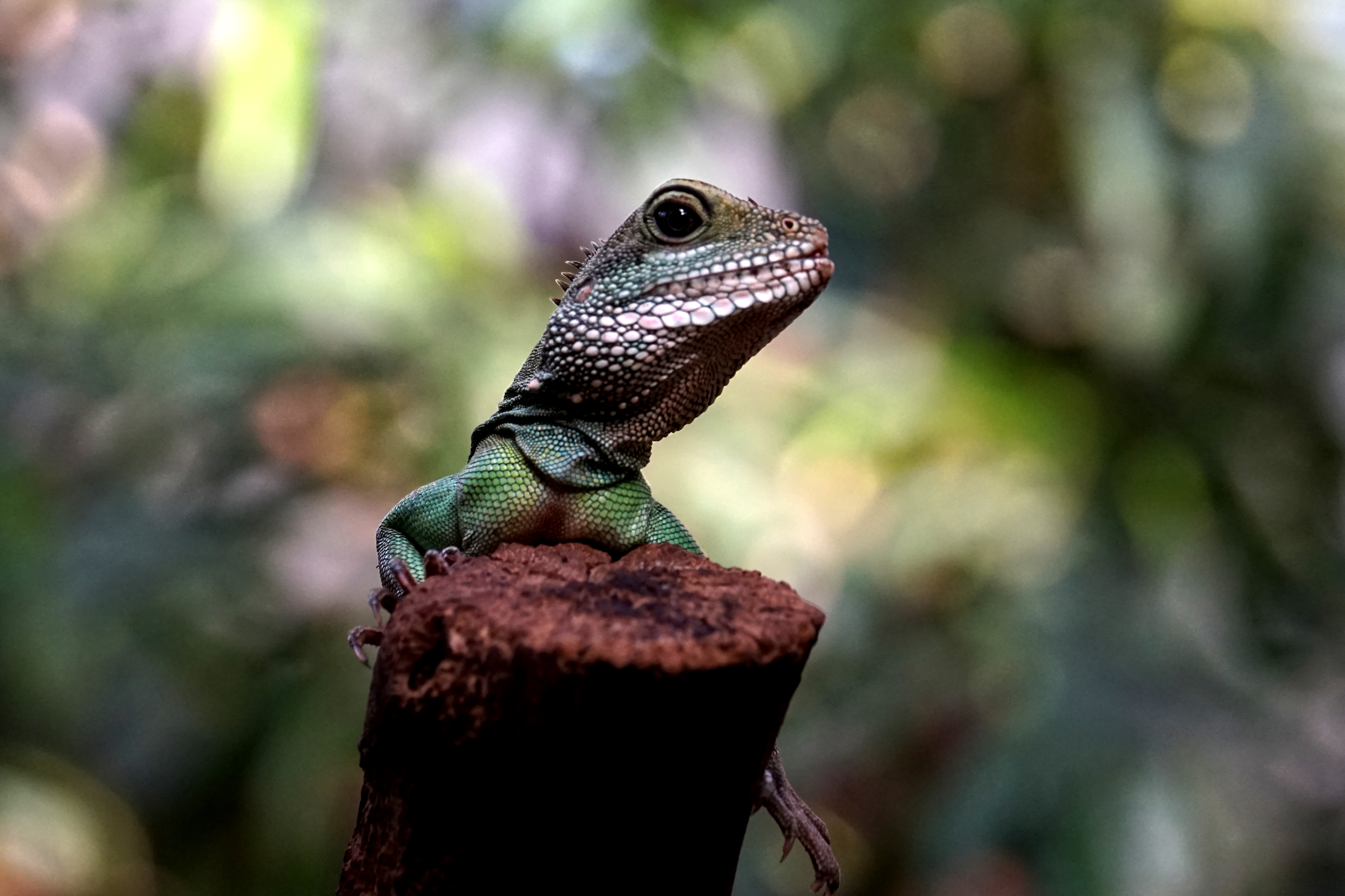 144051 download wallpaper Animals, Lizard, Amphibian, Reptile screensavers and pictures for free