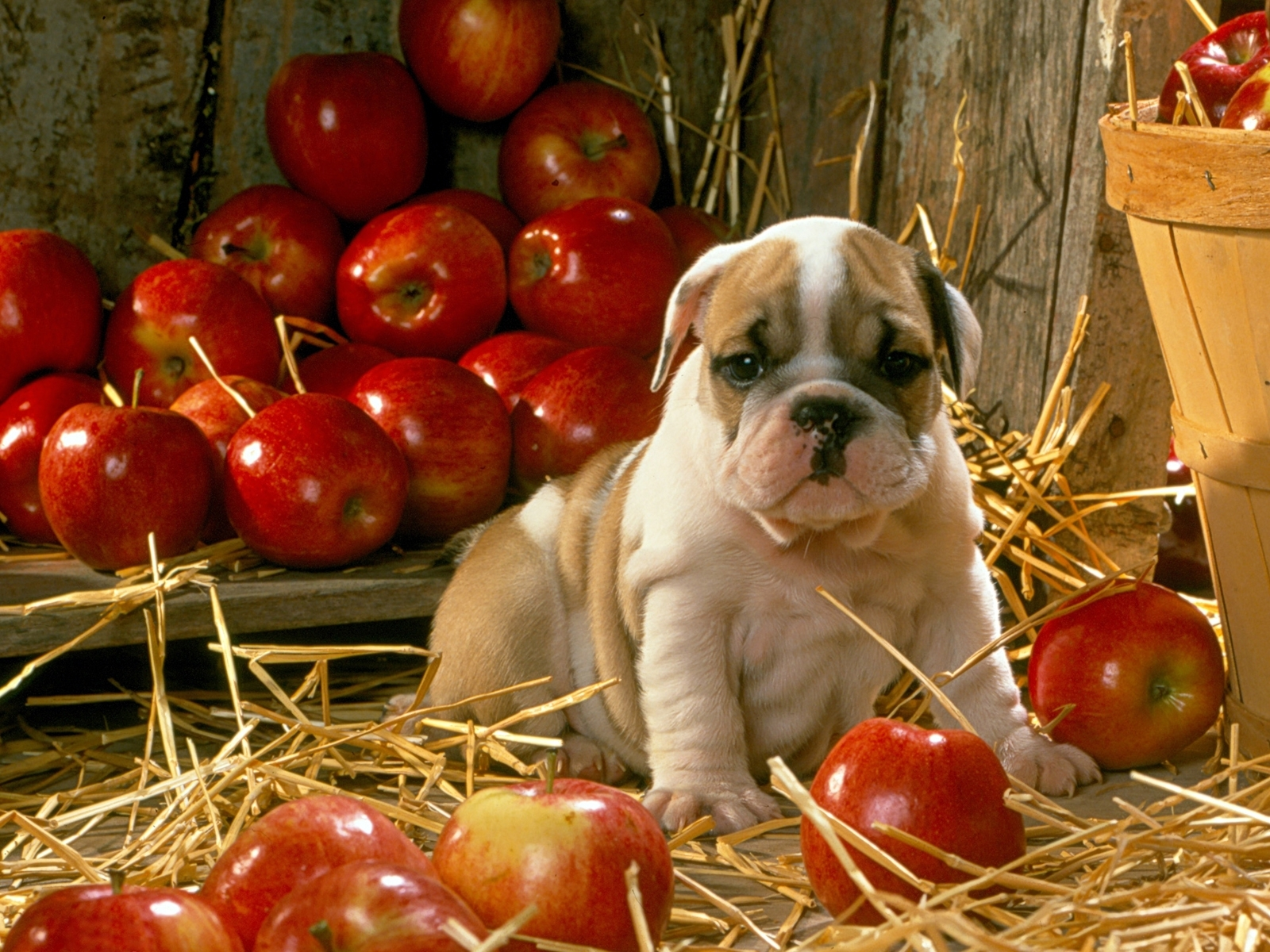 6716 download wallpaper Animals, Dogs, Apples screensavers and pictures for free
