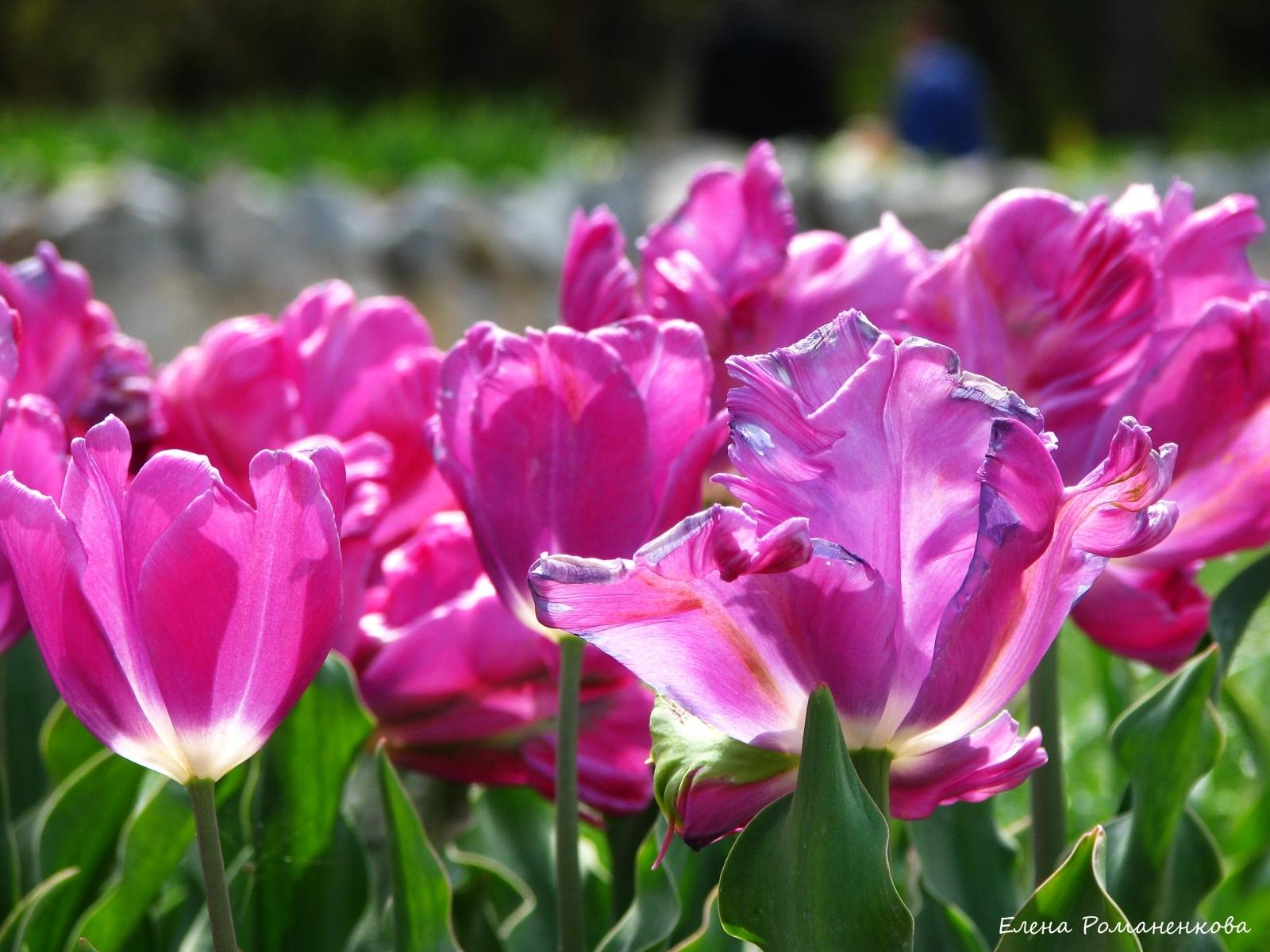 5647 скачать обои Растения, Цветы, Тюльпаны - заставки и картинки бесплатно