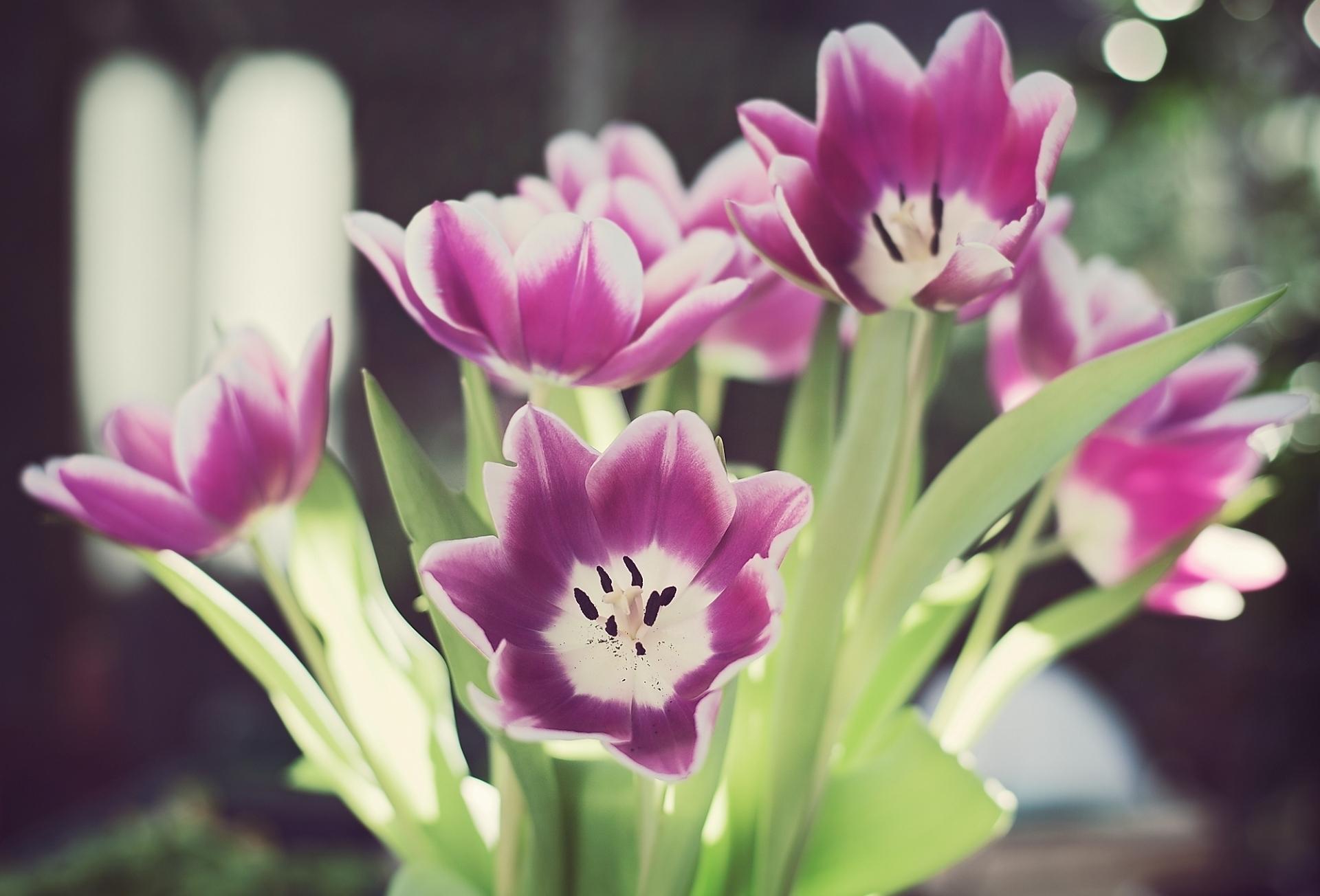 137603 скачать обои Цветы, Тычинки, Распущенные, Зелень, Тюльпаны - заставки и картинки бесплатно