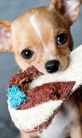 143354 download wallpaper Animals, Chihuahua, Slippers, Slipper, Muzzle screensavers and pictures for free