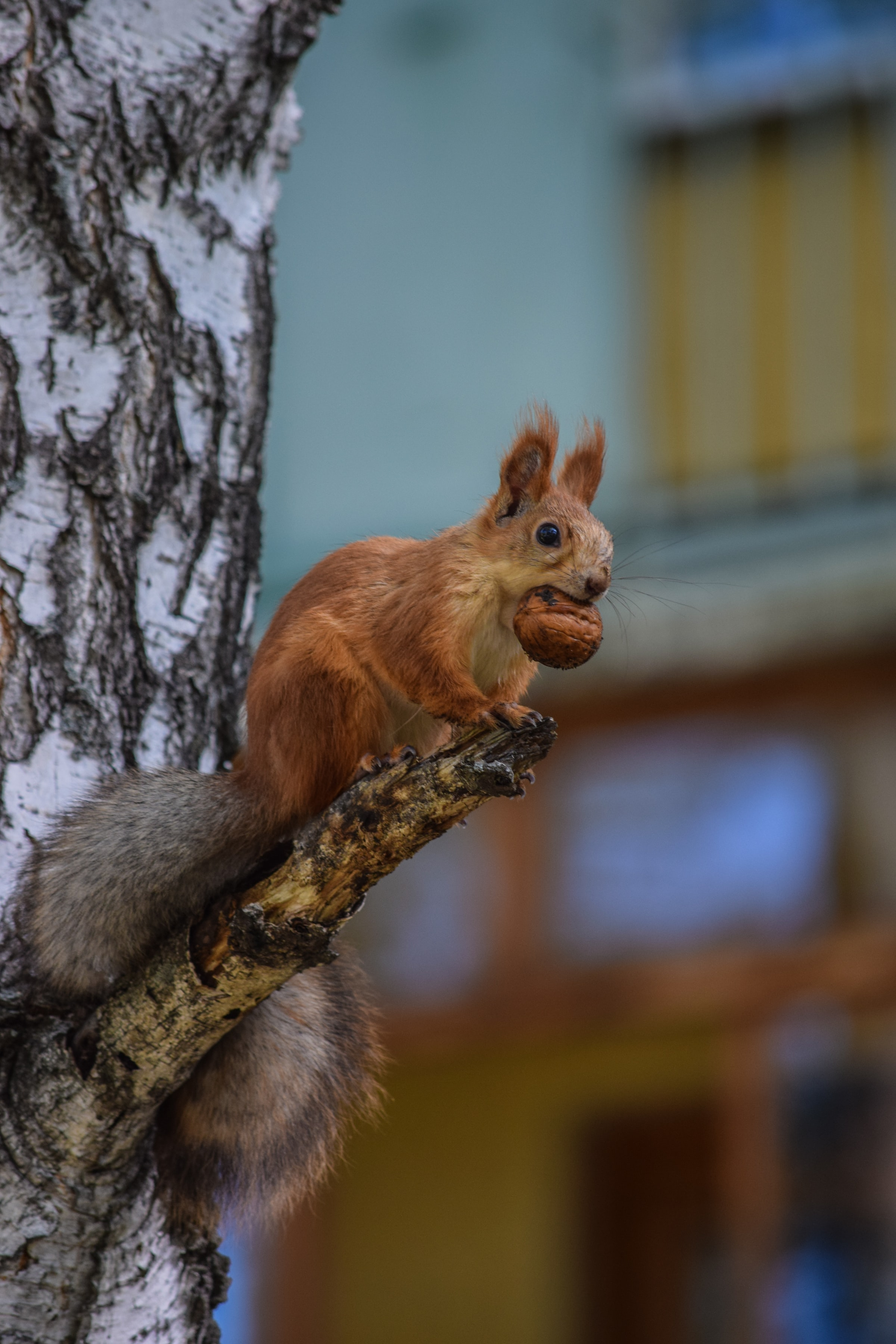 145528 download wallpaper Animals, Squirrel, Rodent, Sight, Opinion, Fluffy, Wood, Tree screensavers and pictures for free