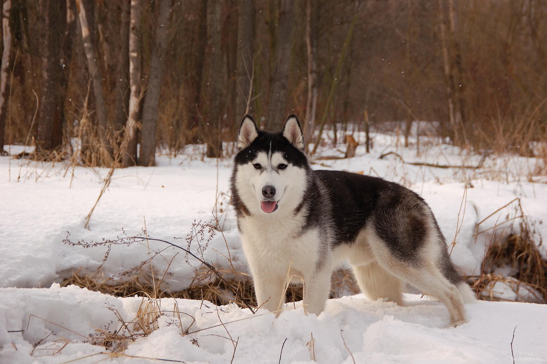 14499 baixar papel de parede Animais, Lobos, Inverno - protetores de tela e imagens gratuitamente