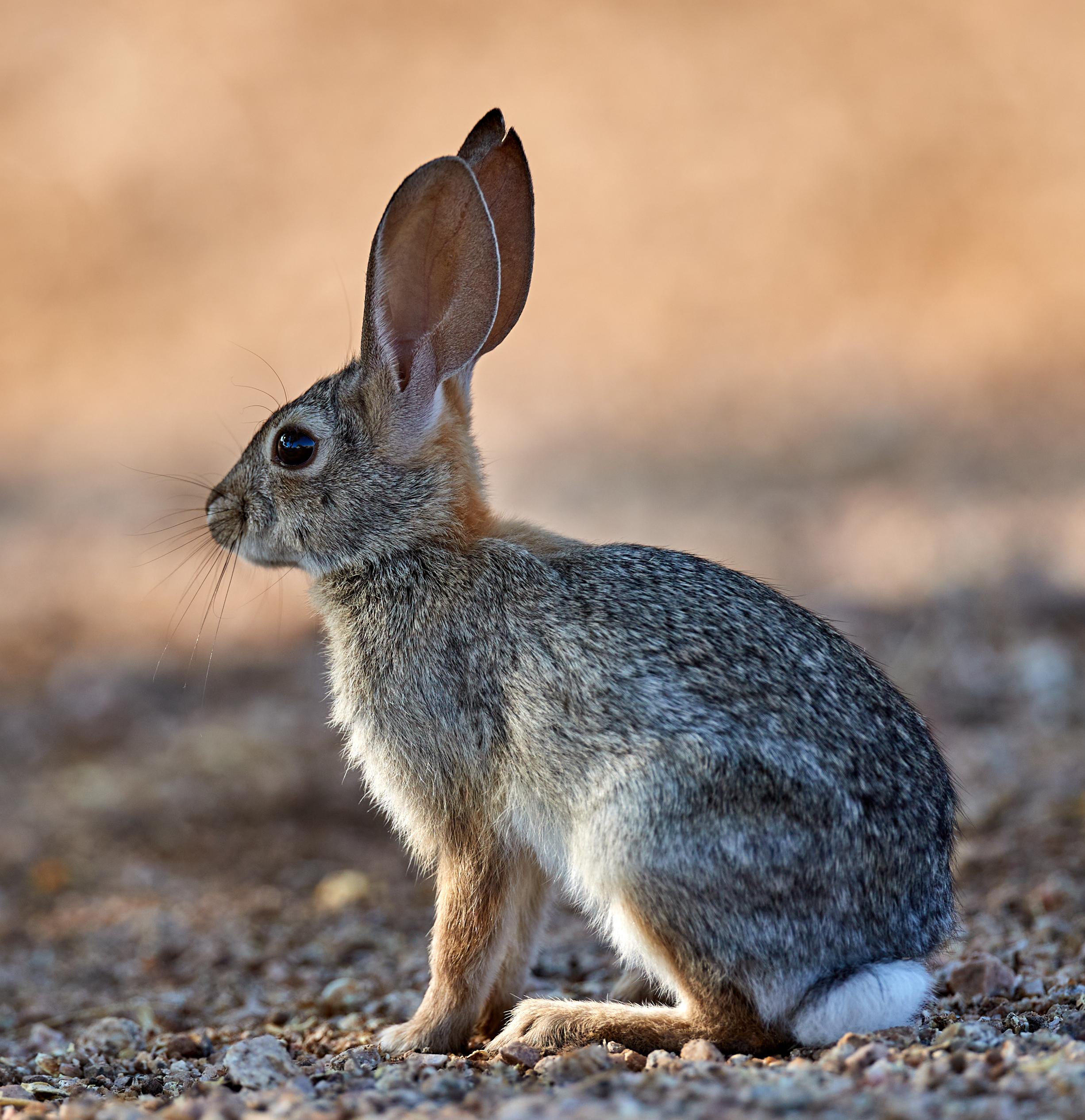 110466 скачать обои Животные, Кролик, Животное, Пушистый, Профиль - заставки и картинки бесплатно