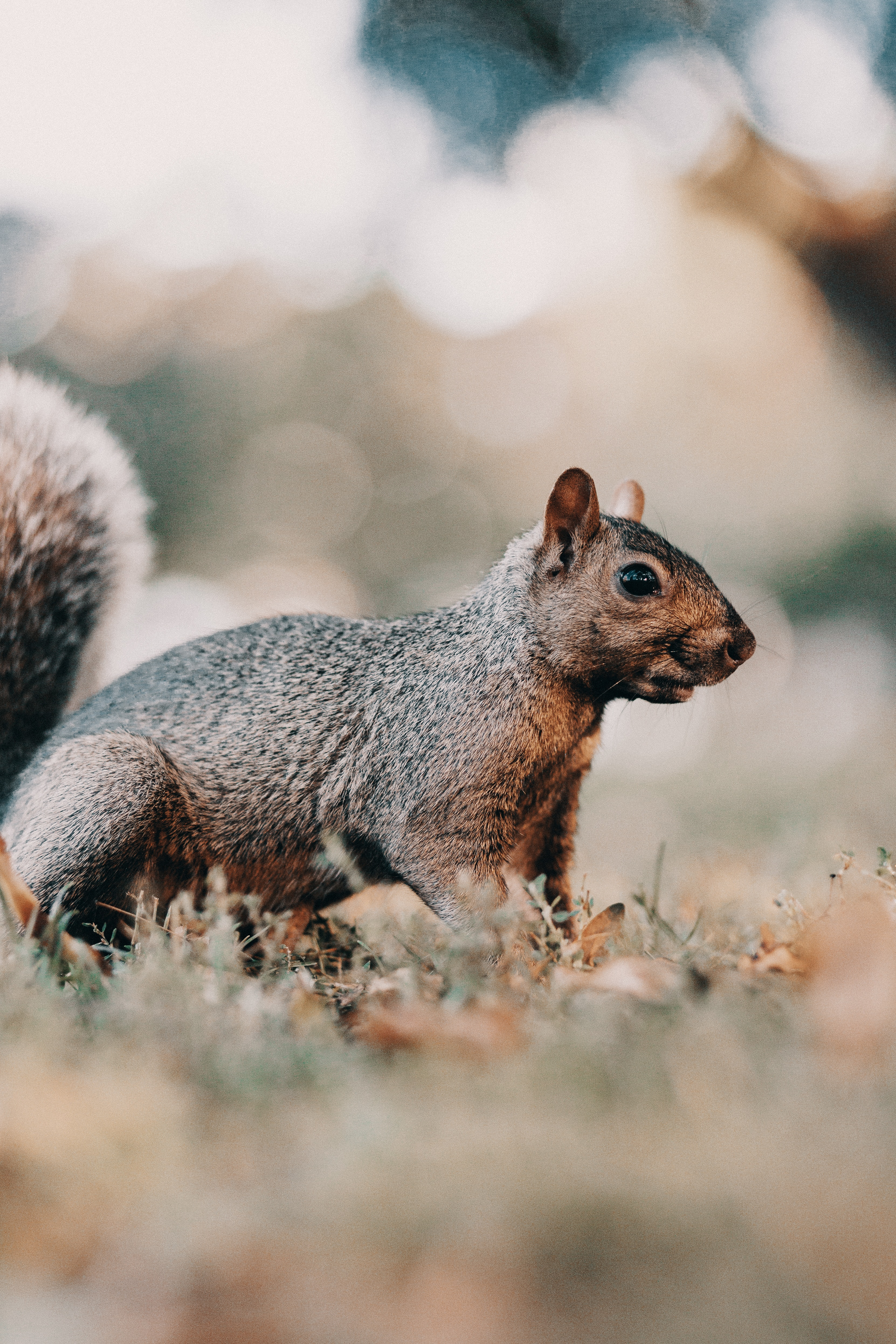 151065 download wallpaper Animals, Squirrel, Brown, Animal, Grass, Wildlife screensavers and pictures for free