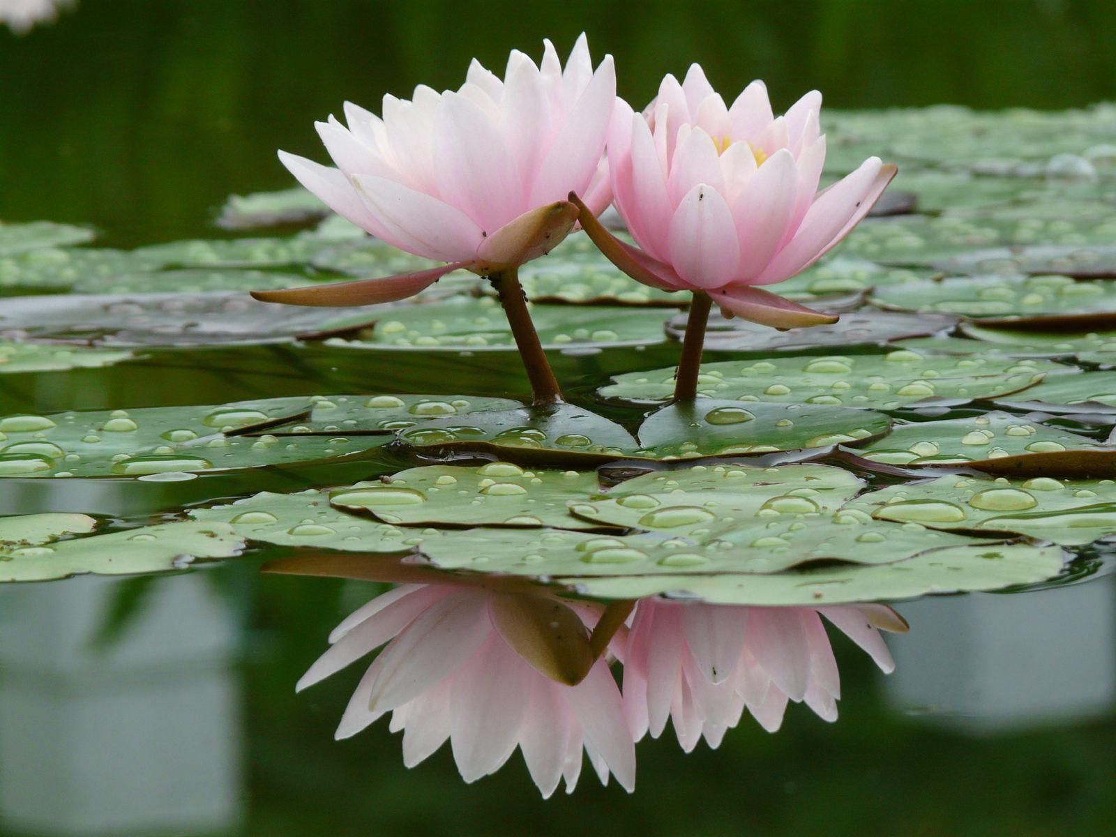 93798 скачать обои Лилии, Цветы, Вода, Листья, Капли, Кувшинки, Отражение, Гладь - заставки и картинки бесплатно