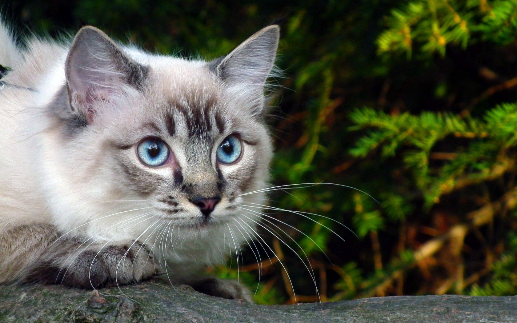 130098 скачать обои Животные, Глаза, Ветка, Зелень, Кошка, Голубые - заставки и картинки бесплатно