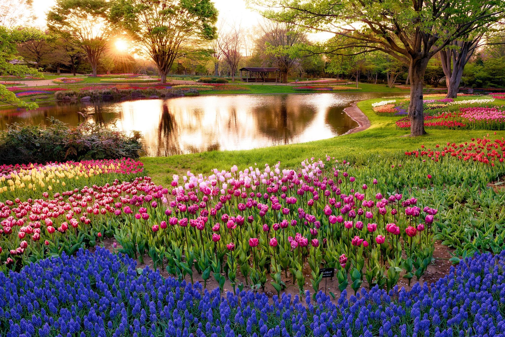 115519 Hintergrundbild herunterladen Natur, Blumen, Bäume, Sun, Tulpen, Balken, Strahlen, Mehrfarbig, Der Park, Park, Sonnenaufgang, Steigen, Morgen, Bunten, Japan, Teich, Tokio, Tokyo, Muscari, Muskari - Bildschirmschoner und Bilder kostenlos