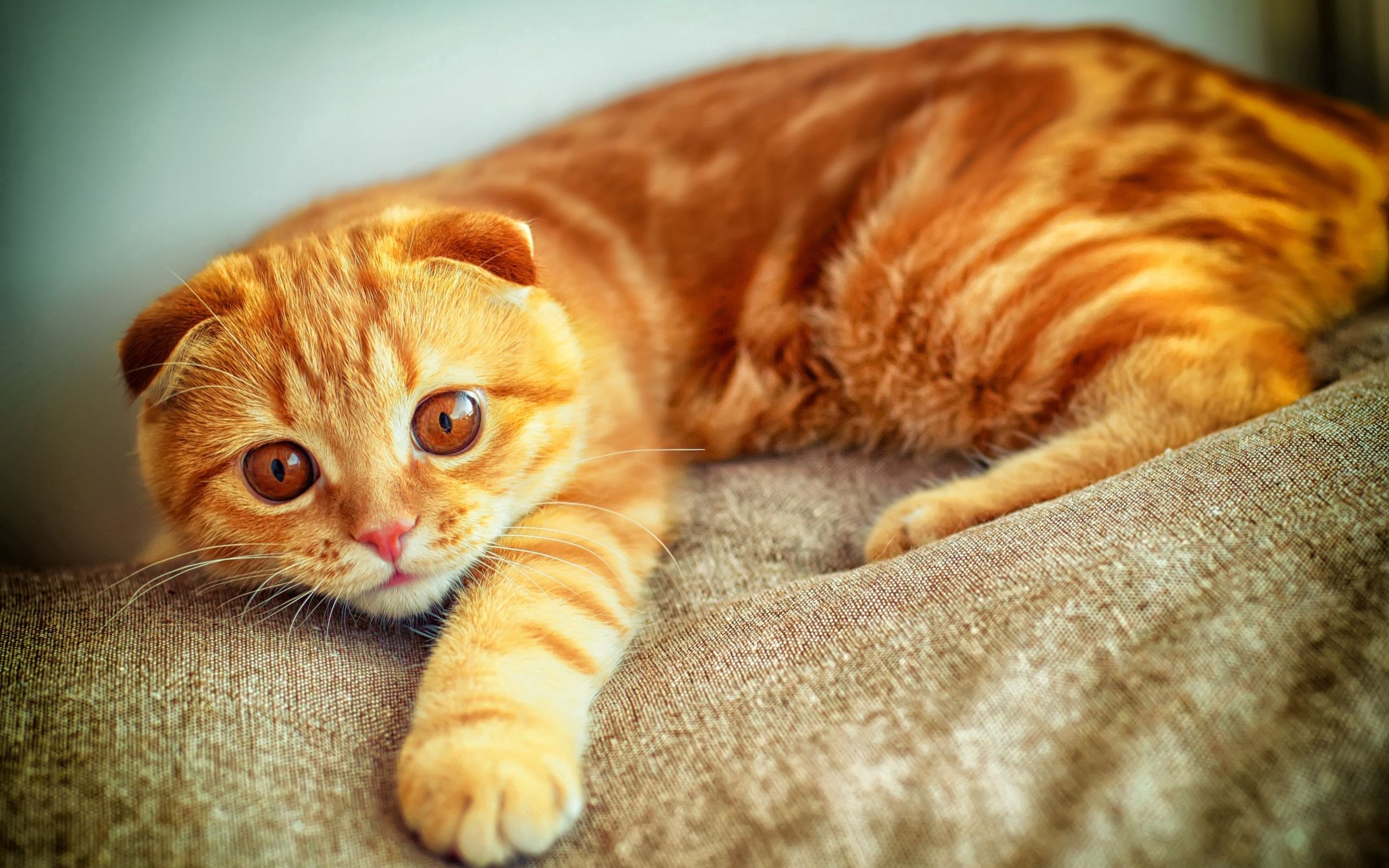 156352 download wallpaper Animals, Portrait, Playing, Plays, Paw, Redhead, Cat screensavers and pictures for free