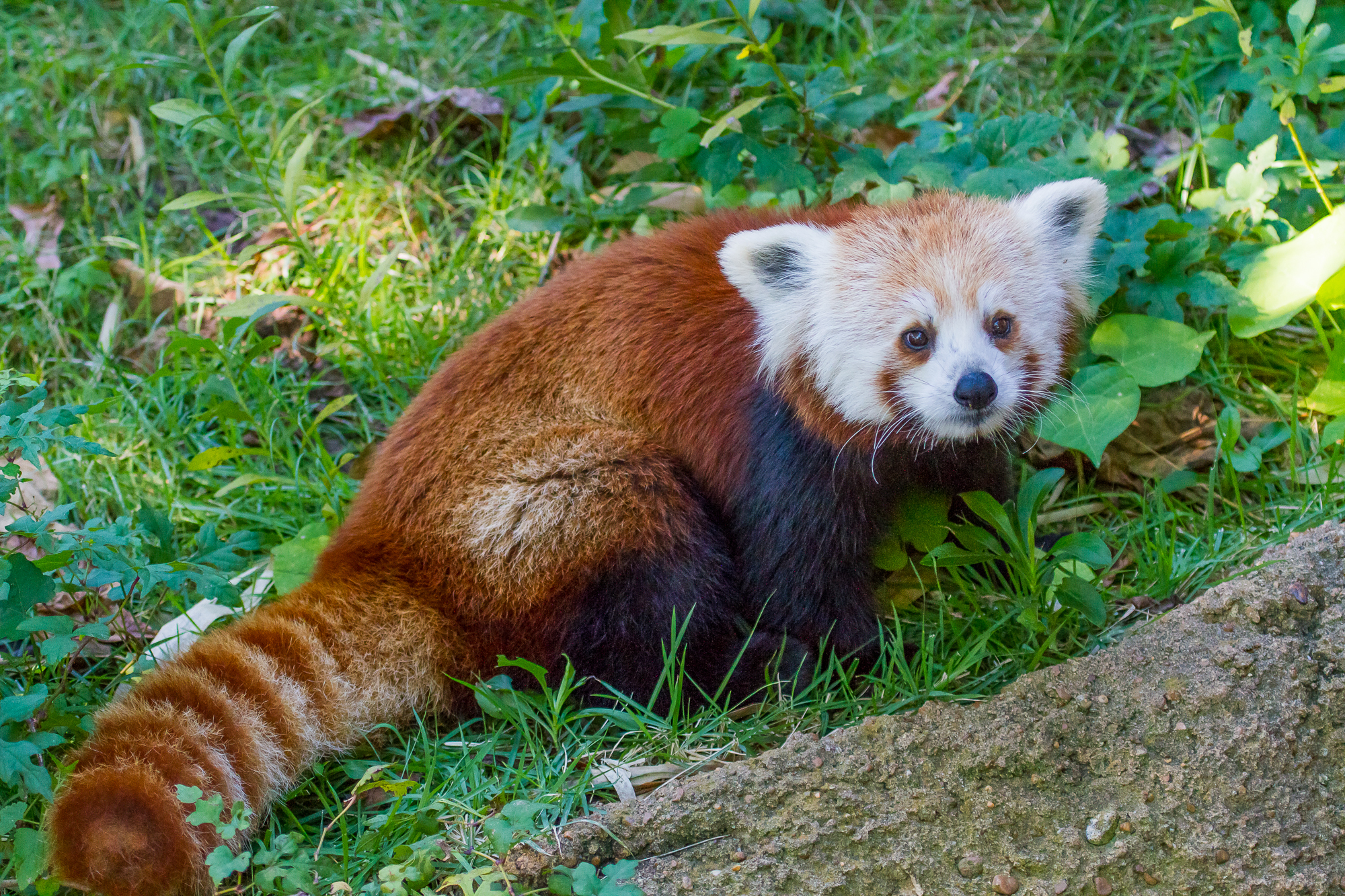 100212 Screensavers and Wallpapers Striped for phone. Download Animals, Grass, Striped, Red Panda, Little Panda, Small Panda pictures for free