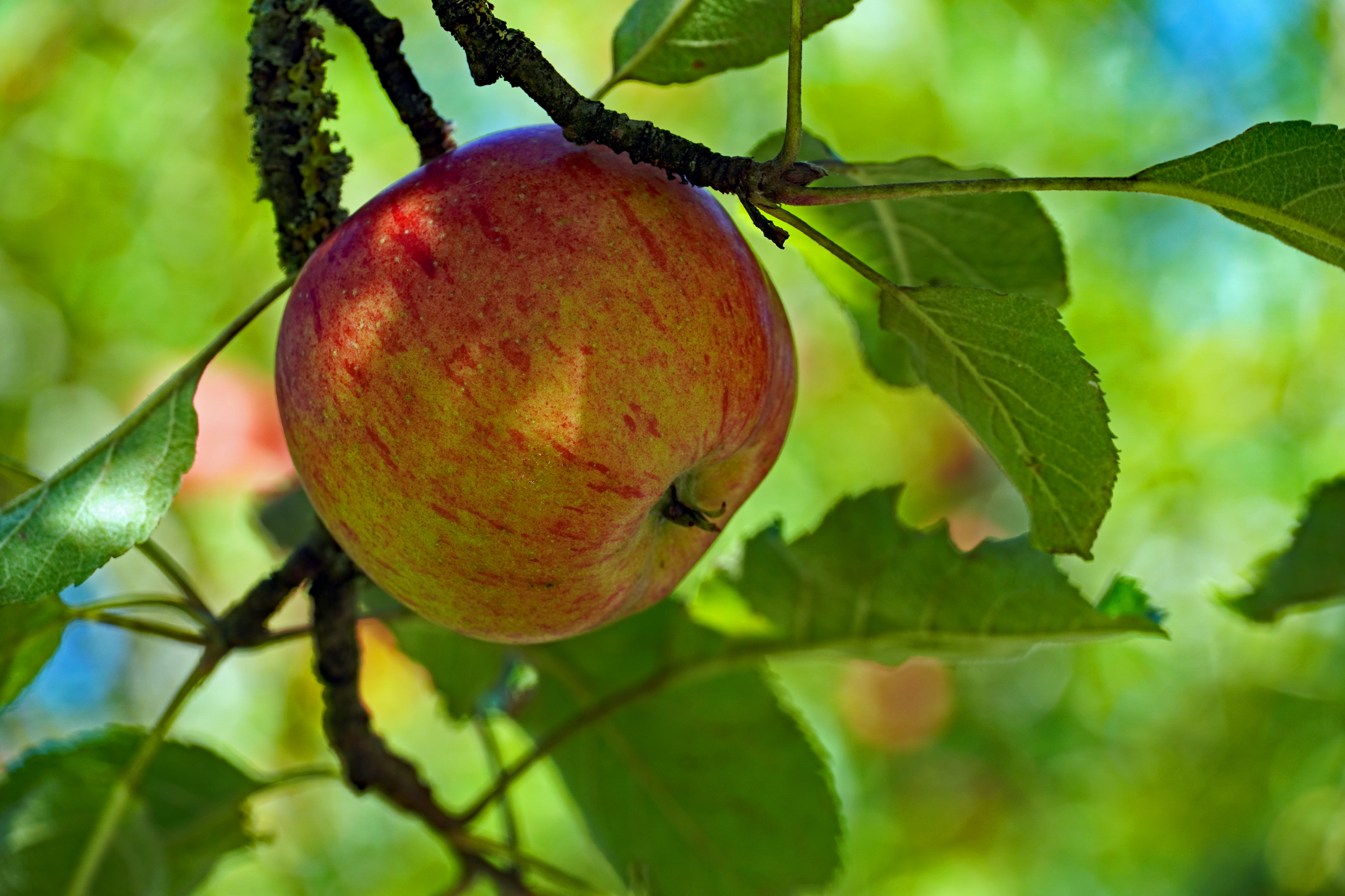 98844 Screensavers and Wallpapers Apple for phone. Download Food, Apple, Fruit, Branch, Leaves pictures for free