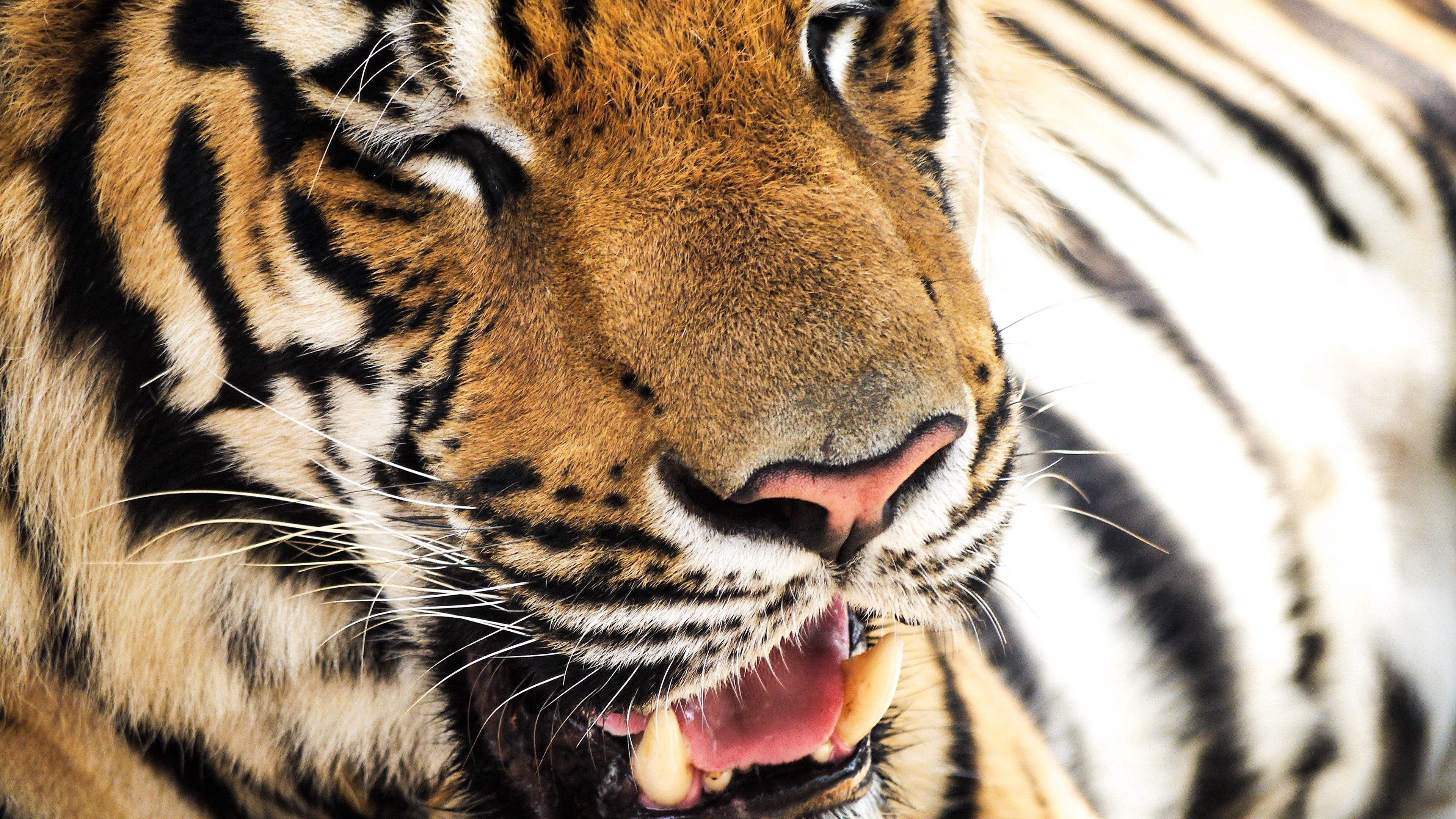148220 Screensavers and Wallpapers Nose for phone. Download Animals, Muzzle, Tiger, Nose, Teeth pictures for free