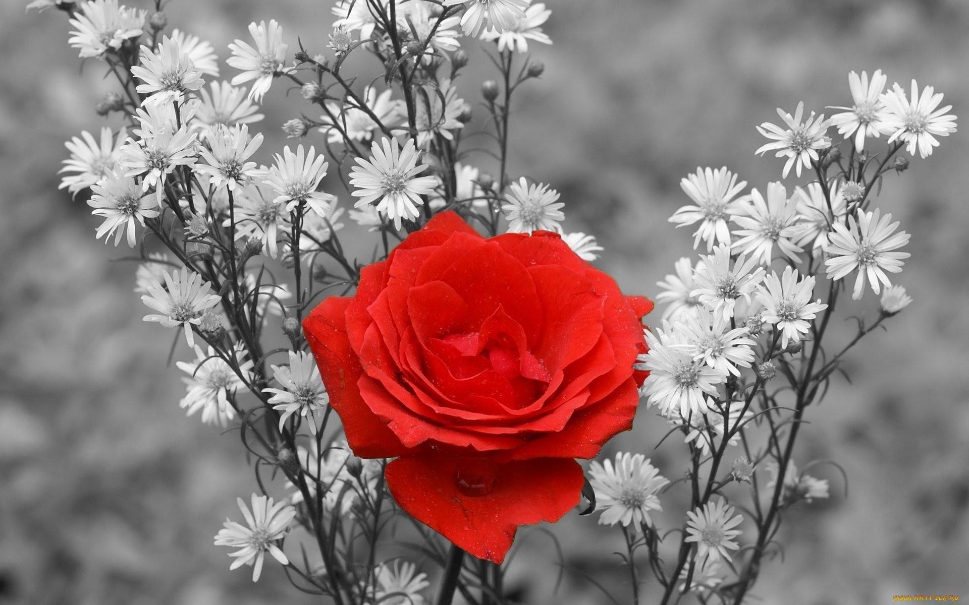 16802 скачать обои Растения, Цветы, Розы - заставки и картинки бесплатно