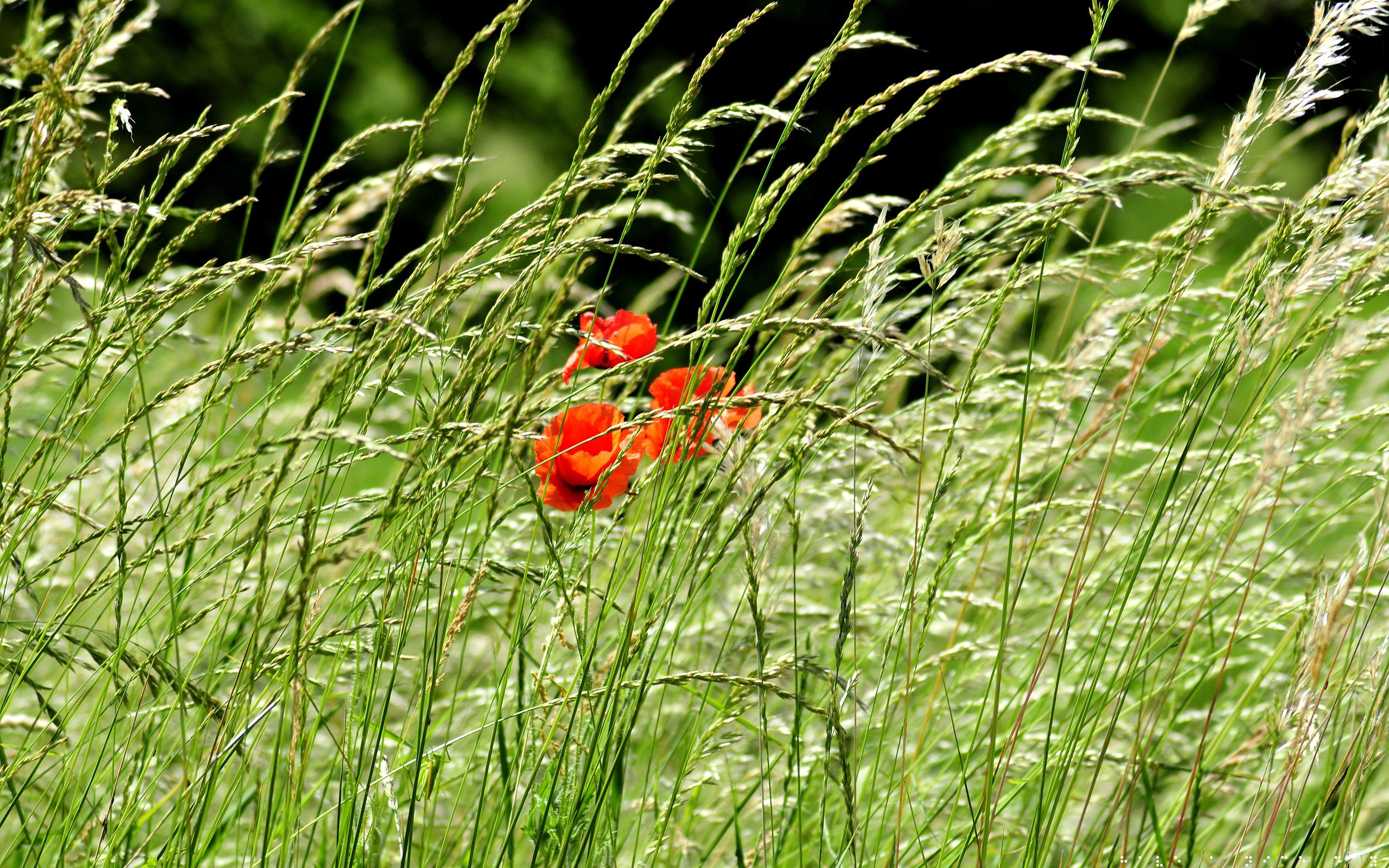 111881 Screensavers and Wallpapers Poppies for phone. Download Nature, Flowers, Poppies, Greens, Field, Ears, Spikes pictures for free