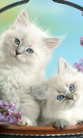35337 download wallpaper Animals, Cats screensavers and pictures for free