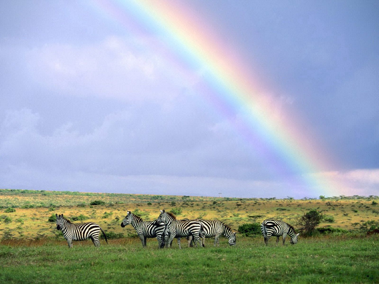 141460 download wallpaper Nature, Wildlife, Rainbow, After The Rain, Zebra screensavers and pictures for free