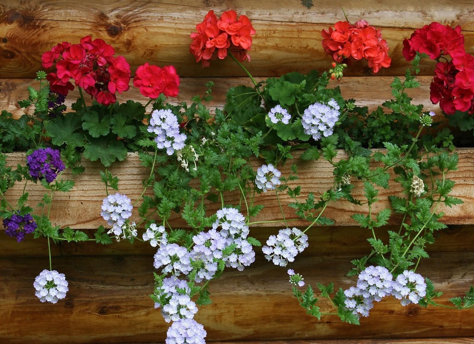125997 Salvapantallas y fondos de pantalla Flores en tu teléfono. Descarga imágenes de Flores, Geranio, Pared gratis