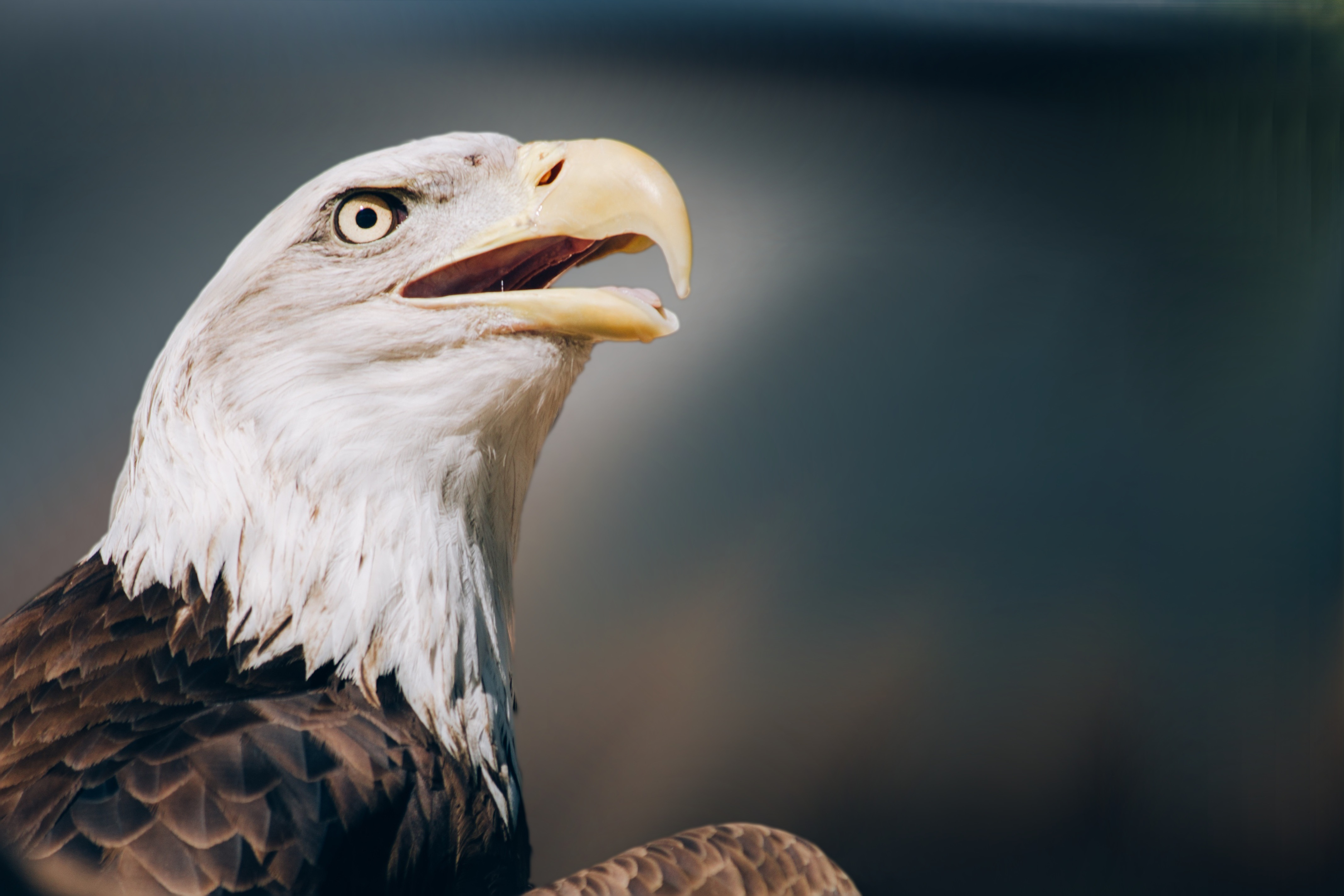 63093 download wallpaper Animals, Eagle, Bald Eagle, White-Headed Eagle, Head, Beak screensavers and pictures for free