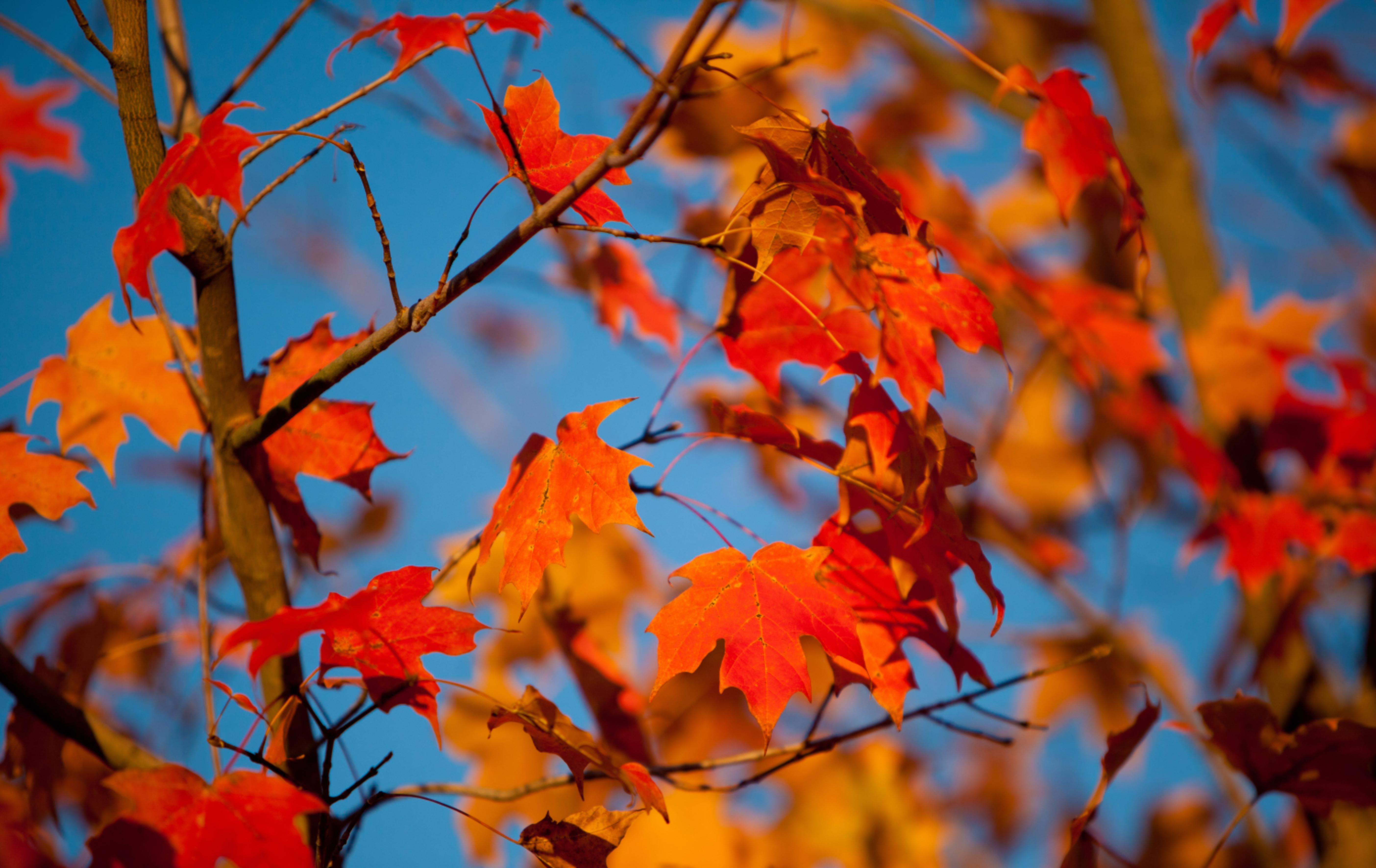126432 скачать обои Природа, Осень, Листья, Клен, Ветки, Размытость - заставки и картинки бесплатно