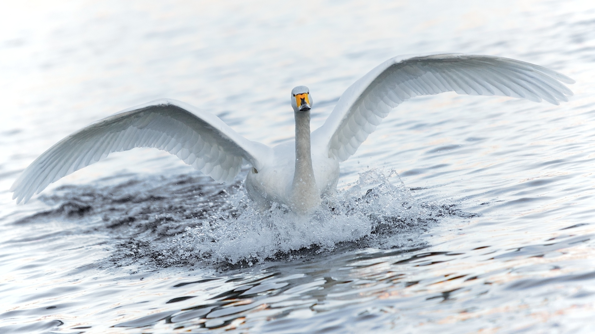 39401 download wallpaper Animals, Birds, Swans screensavers and pictures for free