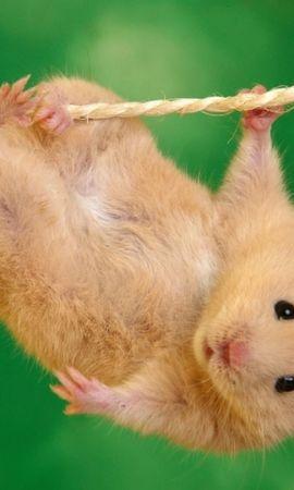 42852 baixar papel de parede Animais, Hamsters - protetores de tela e imagens gratuitamente