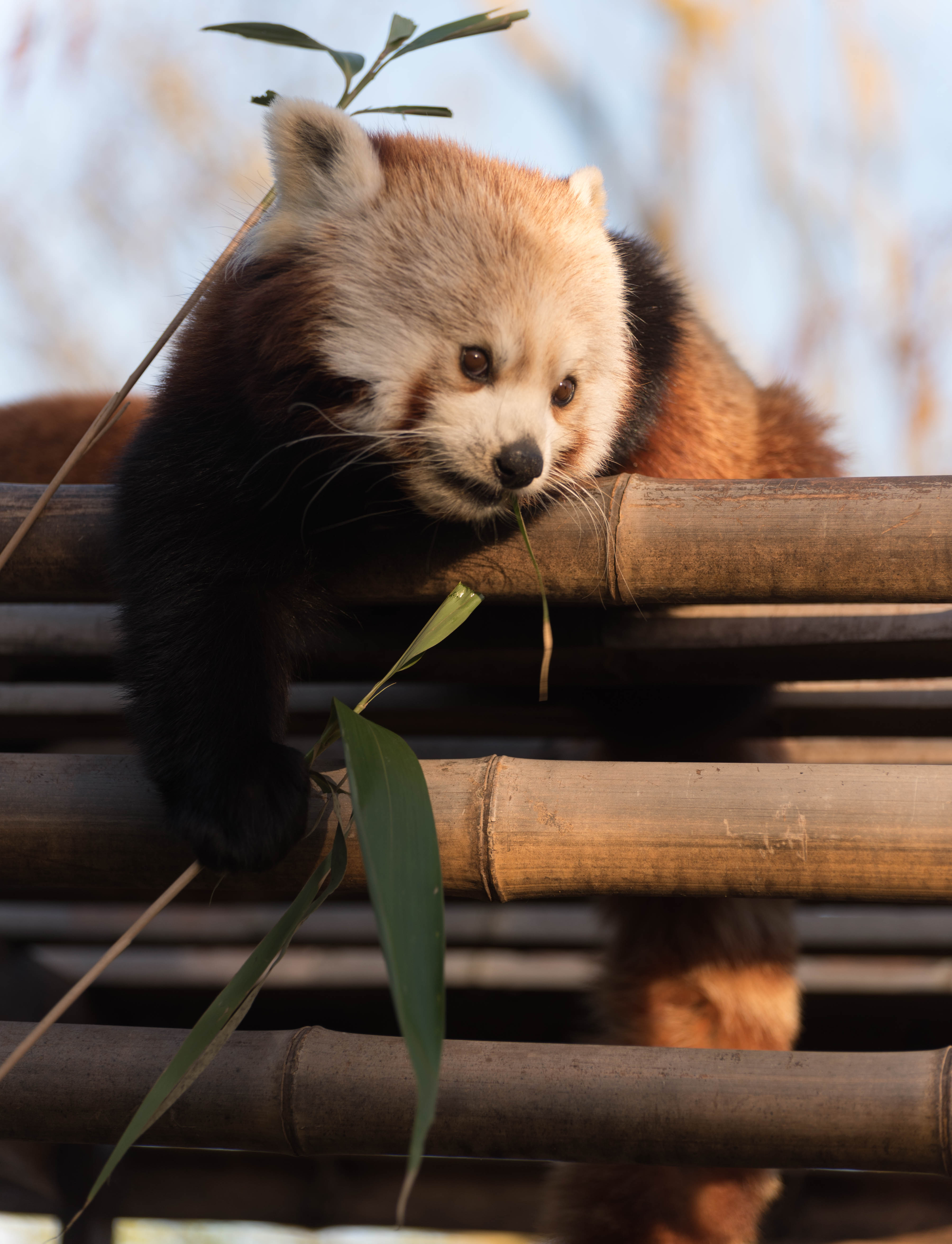 121493 download wallpaper Animals, Red Panda, Nice, Sweetheart, Bamboo screensavers and pictures for free