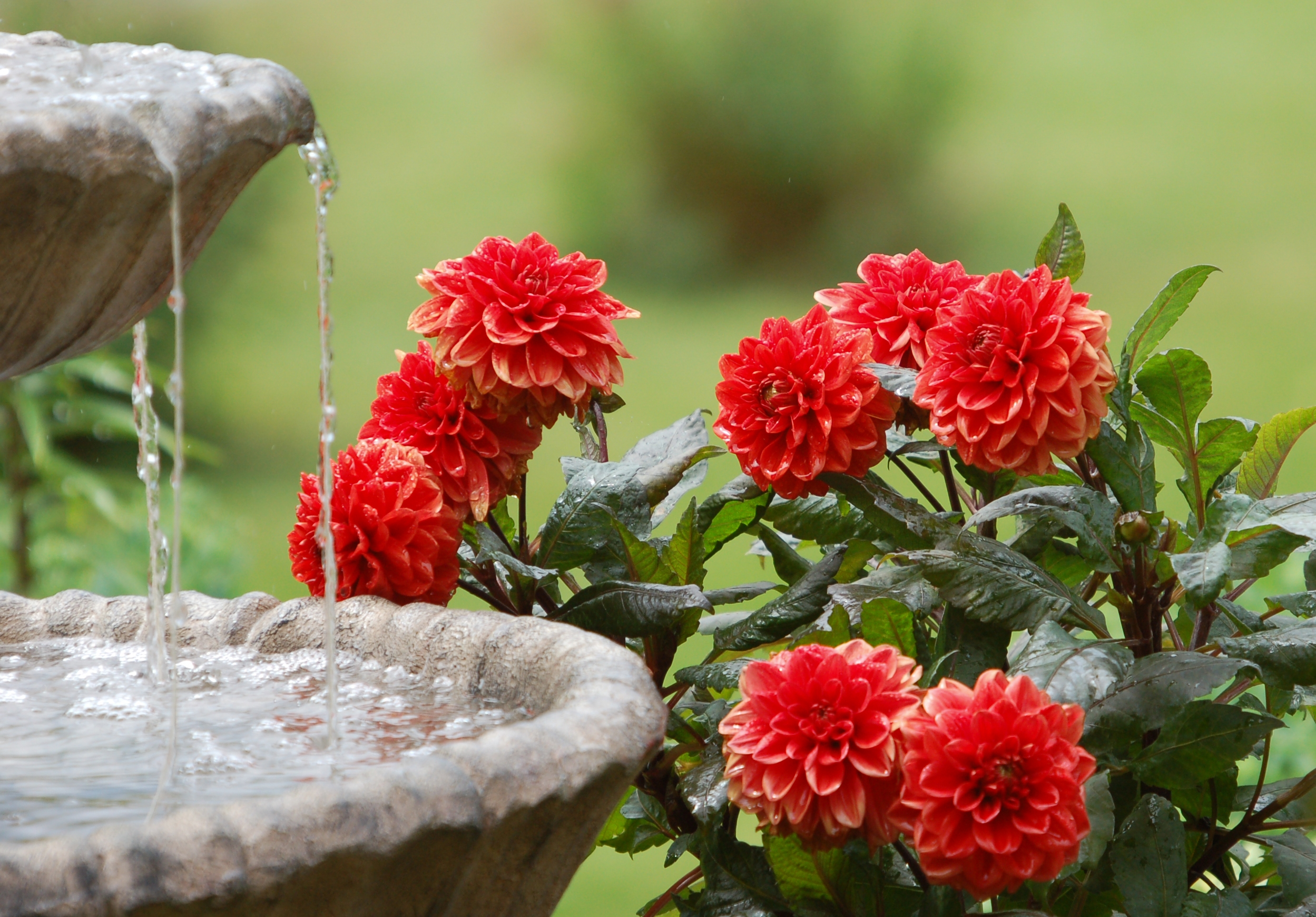 145784 Screensavers and Wallpapers Fountain for phone. Download Flowers, Water, Fountain, Dahlias, Summer Garden pictures for free