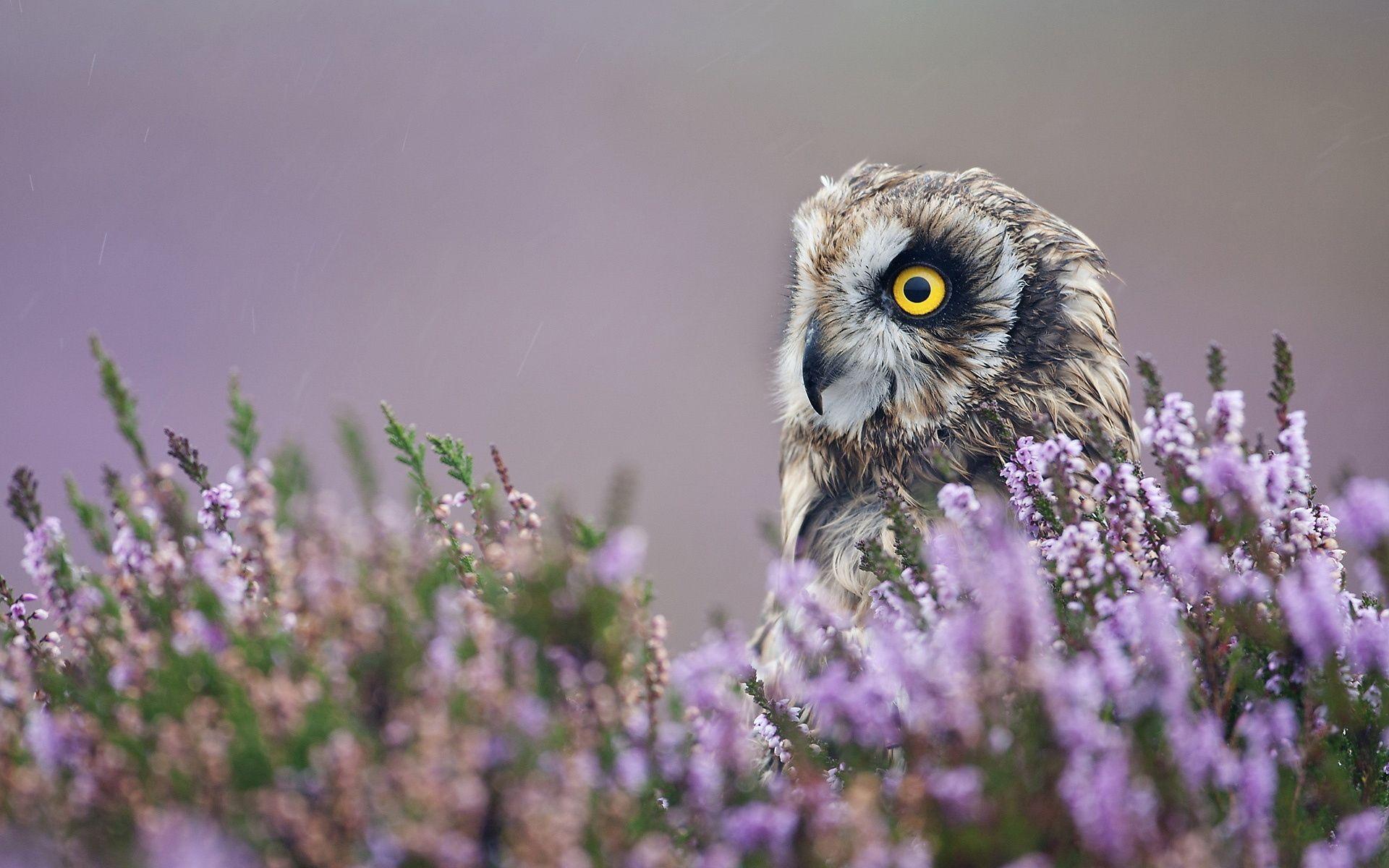 139438 скачать обои Животные, Сова, Лаванда, Профиль, Птица, Цветы - заставки и картинки бесплатно