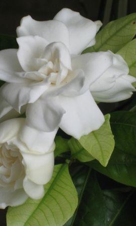 5584 télécharger le fond d'écran Plantes, Fleurs, Roses - économiseurs d'écran et images gratuitement