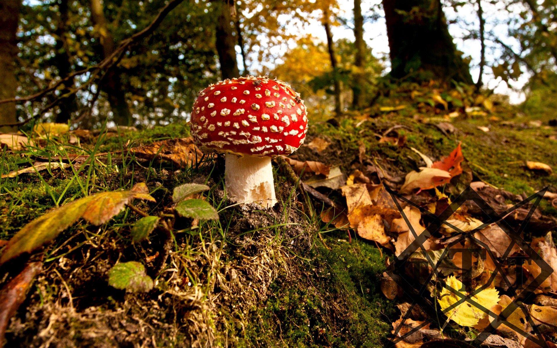 131869 скачать обои Природа, Мухомор, Трава, Осень, Гриб - заставки и картинки бесплатно