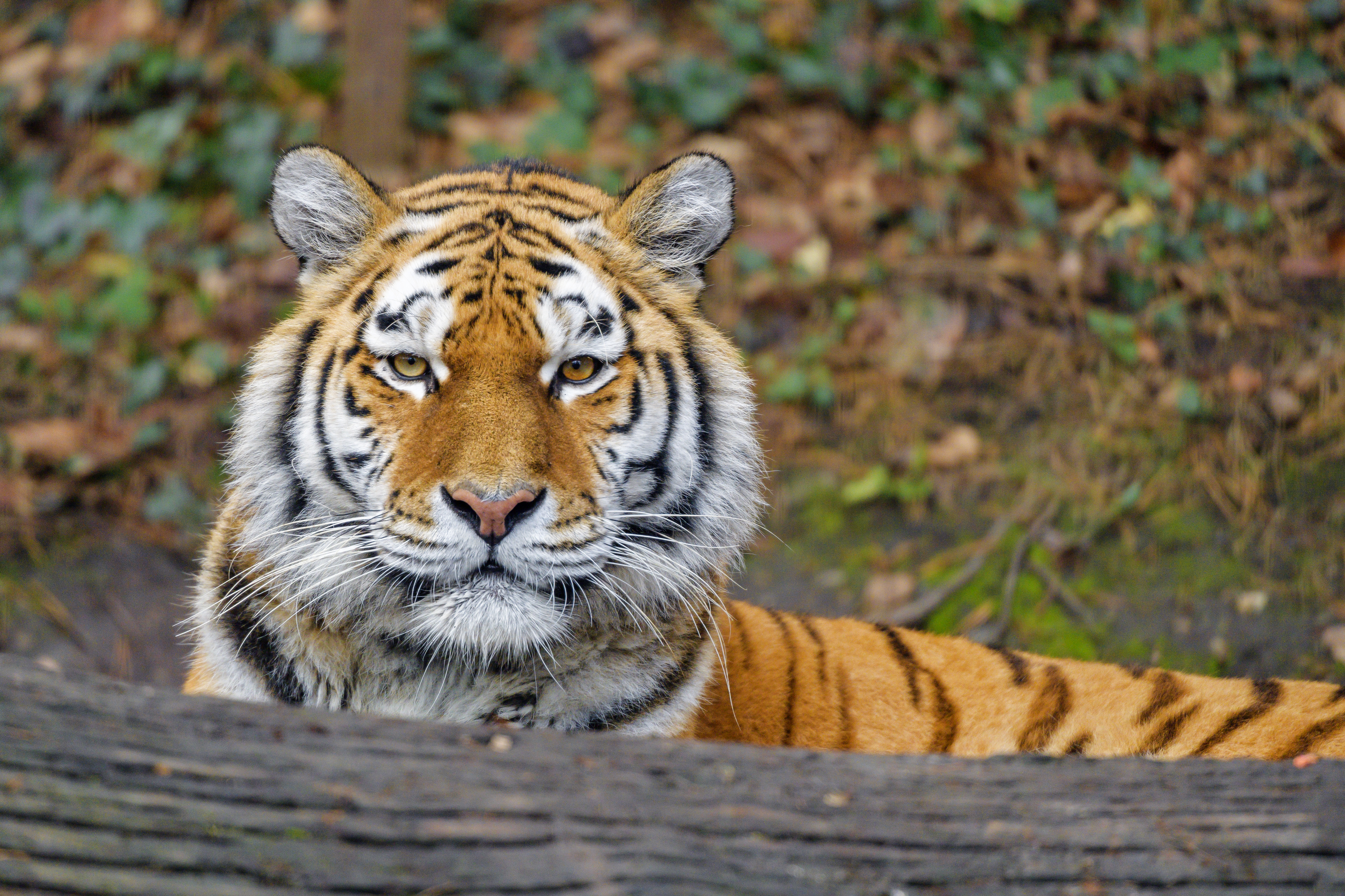 146372 Screensavers and Wallpapers Animal for phone. Download Animals, Tiger, Animal, Big Cat, Predator, Sight, Opinion pictures for free