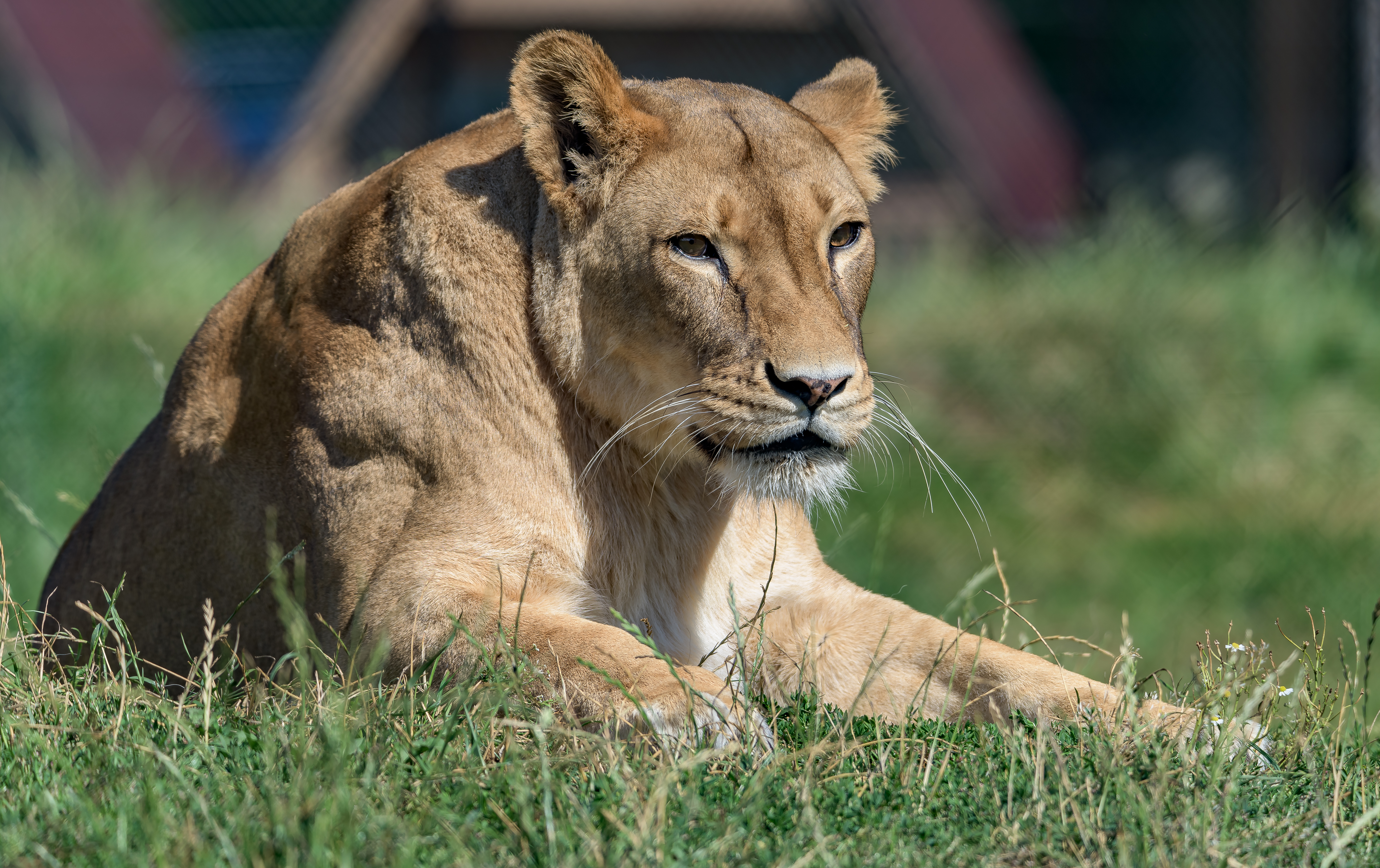 50504 download wallpaper Animals, Lioness, Big Cat, Sight, Opinion, Predator, Wildlife screensavers and pictures for free