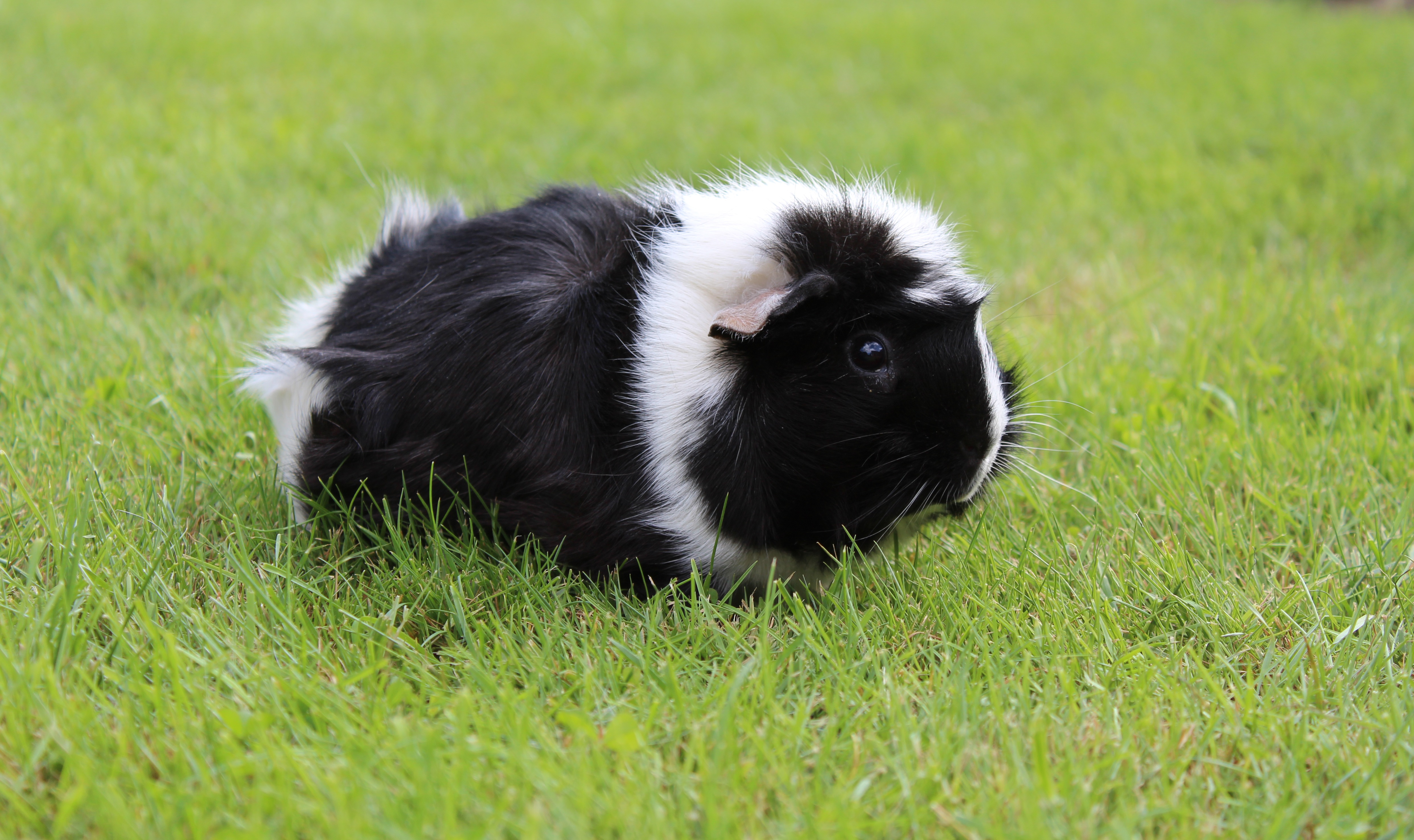 61866 download wallpaper Animals, Guinea Pig, Grass, Stroll, Rodent, Shaggy screensavers and pictures for free