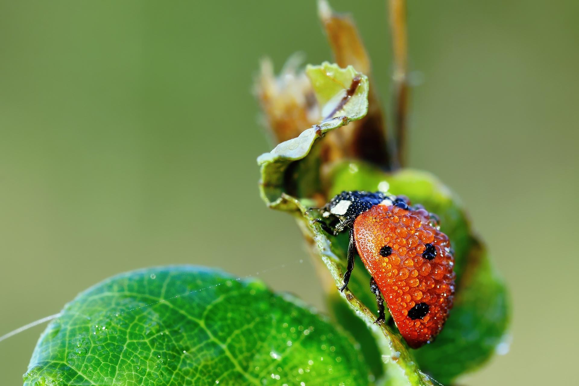 103992 Hintergrundbild herunterladen Grass, Marienkäfer, Drops, Makro, Nass, Ladybird, Tau, Feucht - Bildschirmschoner und Bilder kostenlos