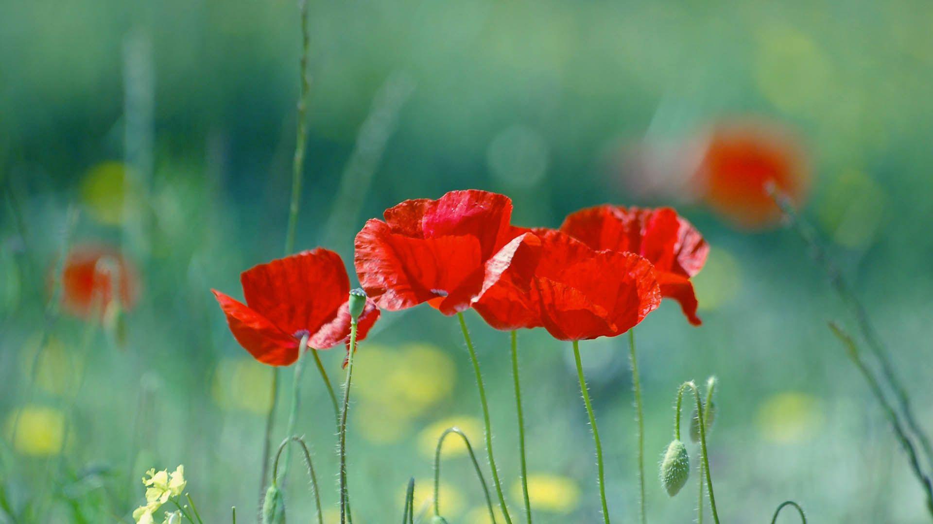 86727 скачать обои Цветы, Маки, Стебель, Красный - заставки и картинки бесплатно