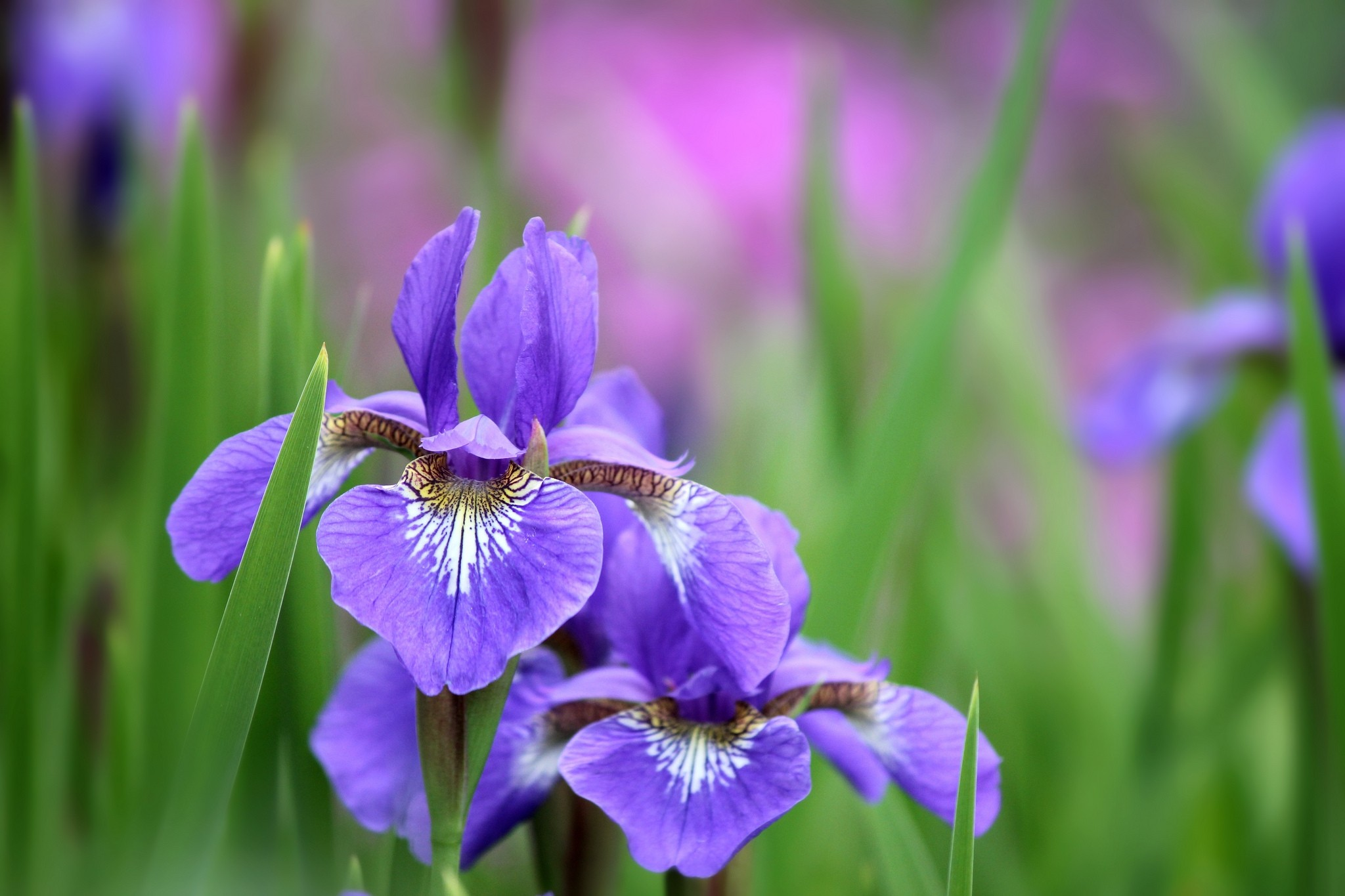 112713 Screensavers and Wallpapers Lilac for phone. Download Flowers, Lilac, Petals, Irises pictures for free