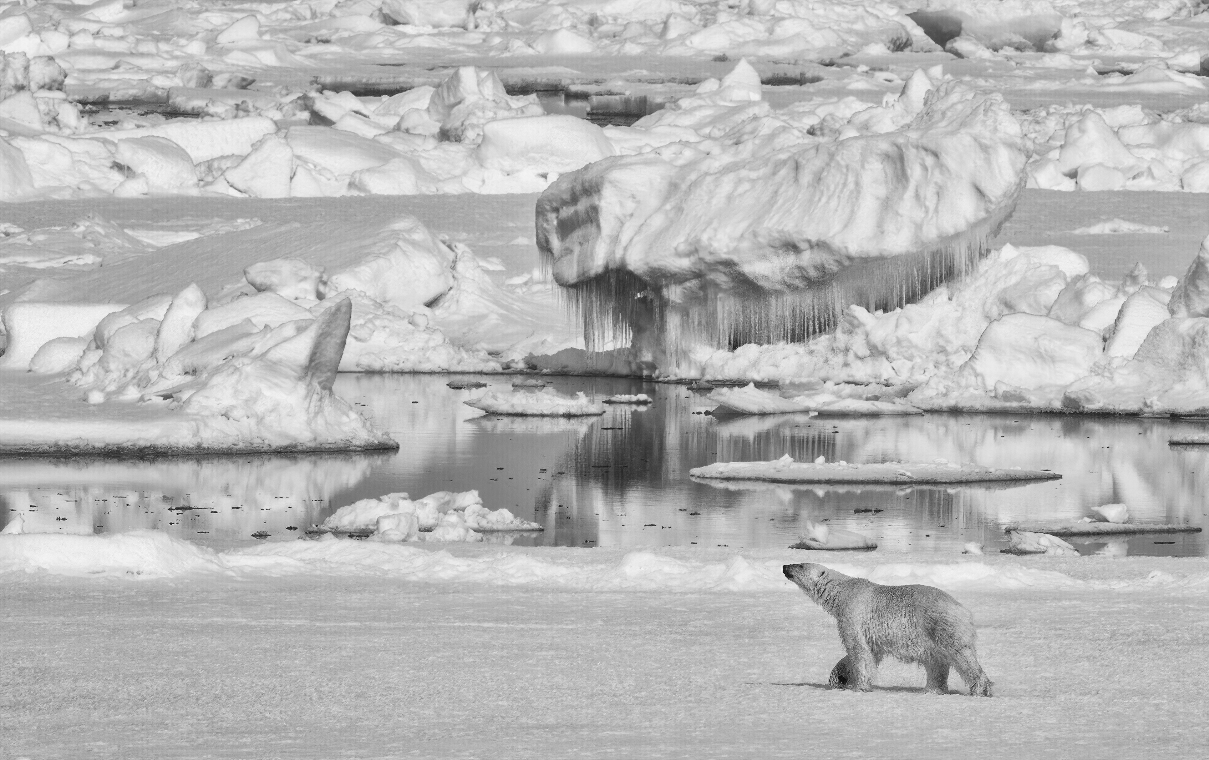 140600 download wallpaper Animals, Polar Bear, Bear, Predator, Ice, Bw, Chb screensavers and pictures for free
