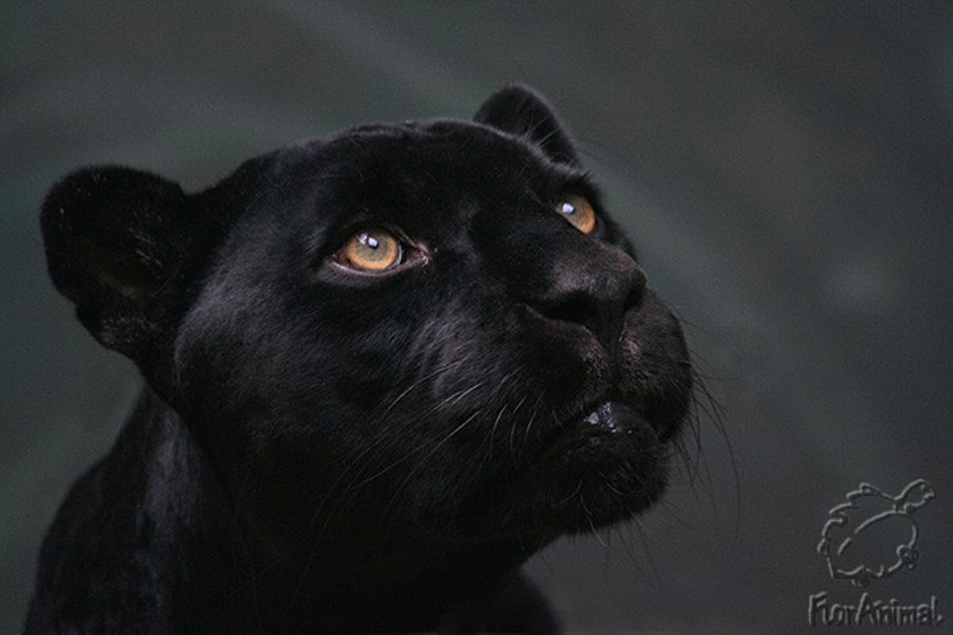 8272 скачать обои Пантеры, Животные - заставки и картинки бесплатно