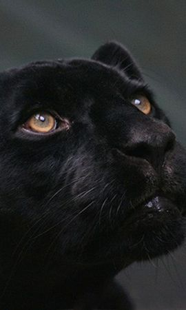 8272 download wallpaper Animals, Panthers screensavers and pictures for free