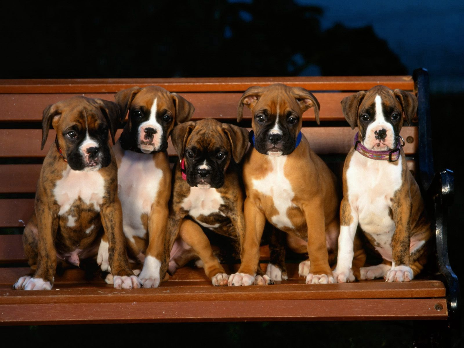 110192 download wallpaper Animals, Puppies, Bulldog, Bench, Evil screensavers and pictures for free