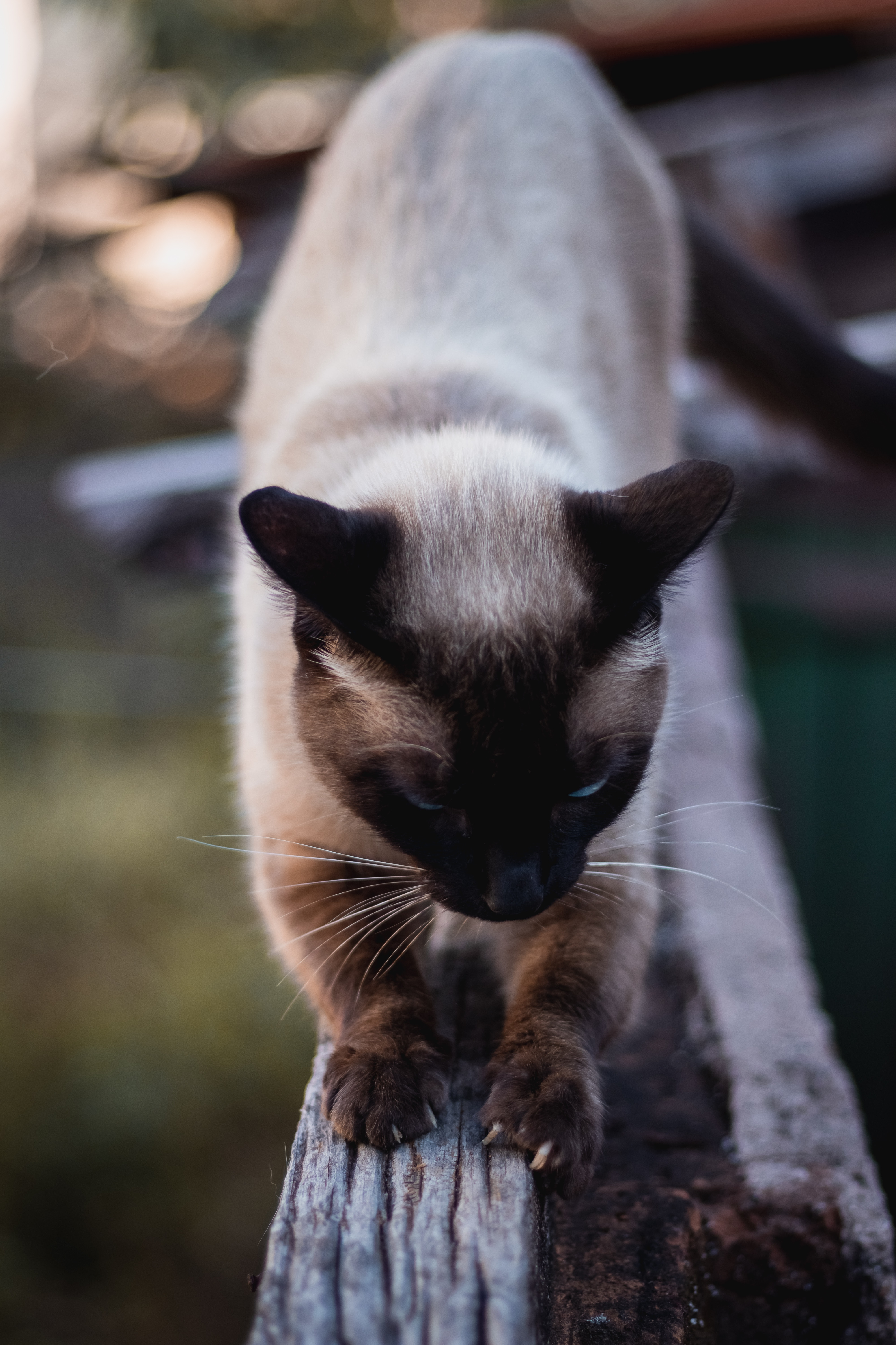 61925 download wallpaper Animals, Cat, Siamese, Claws, Wood, Tree, Pet screensavers and pictures for free