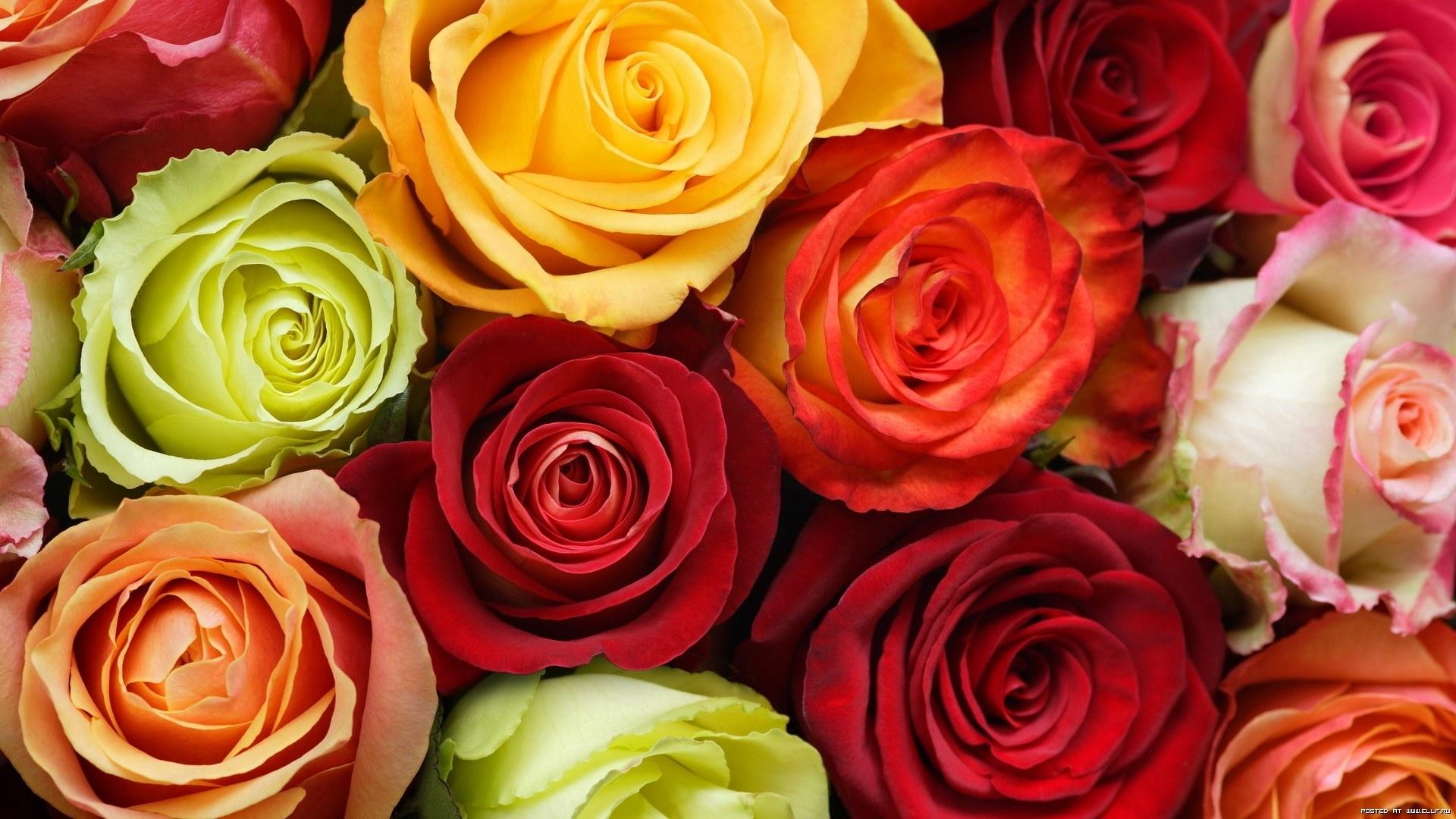 23887 télécharger le fond d'écran Plantes, Fleurs, Roses - économiseurs d'écran et images gratuitement