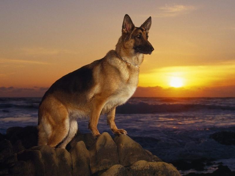41395 скачать обои Животные, Собаки, Закат, Море, Солнце, Овчарки - заставки и картинки бесплатно