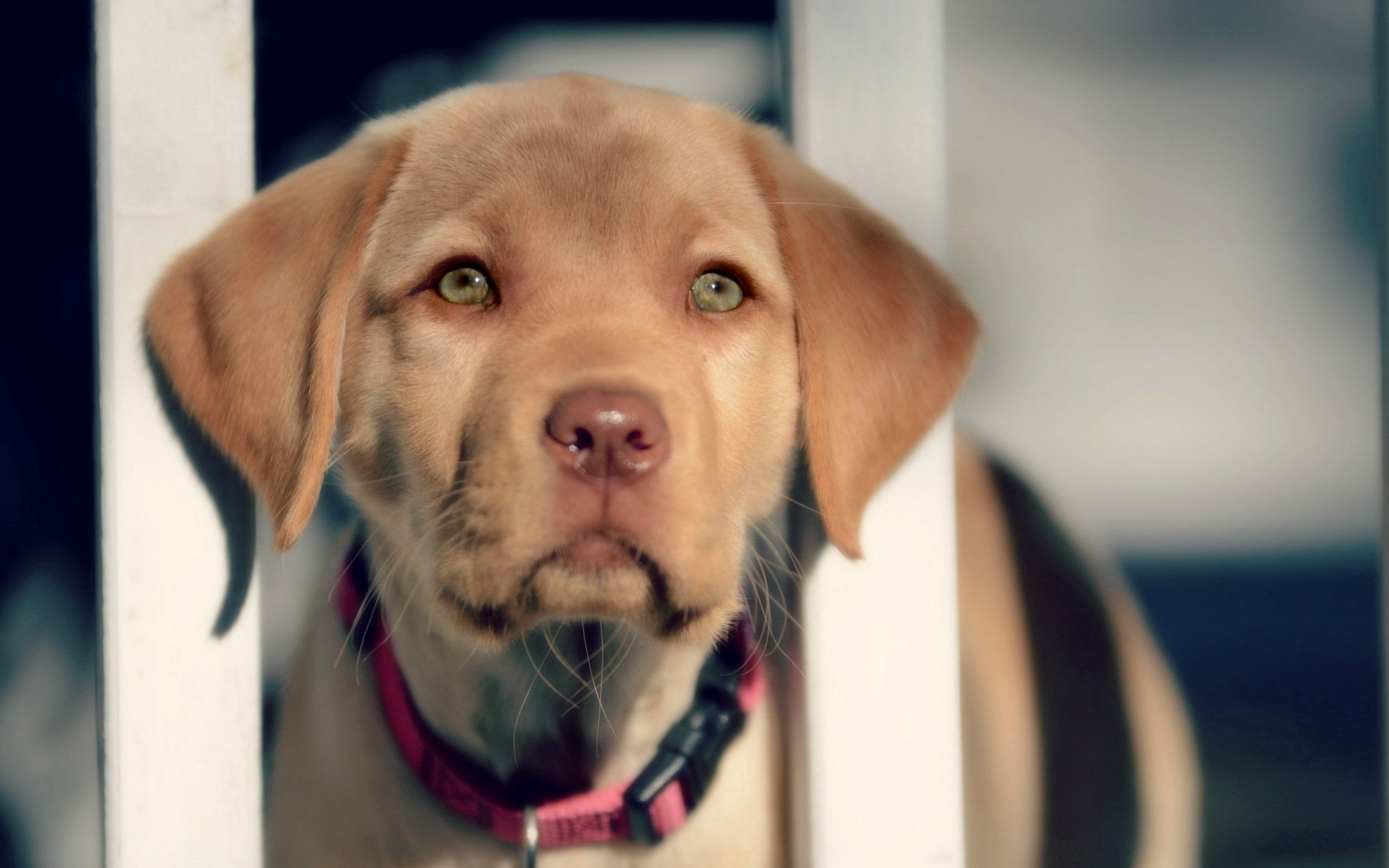 67342 download wallpaper Animals, Puppy, Muzzle, Sight, Opinion, Labrador, Retriever screensavers and pictures for free