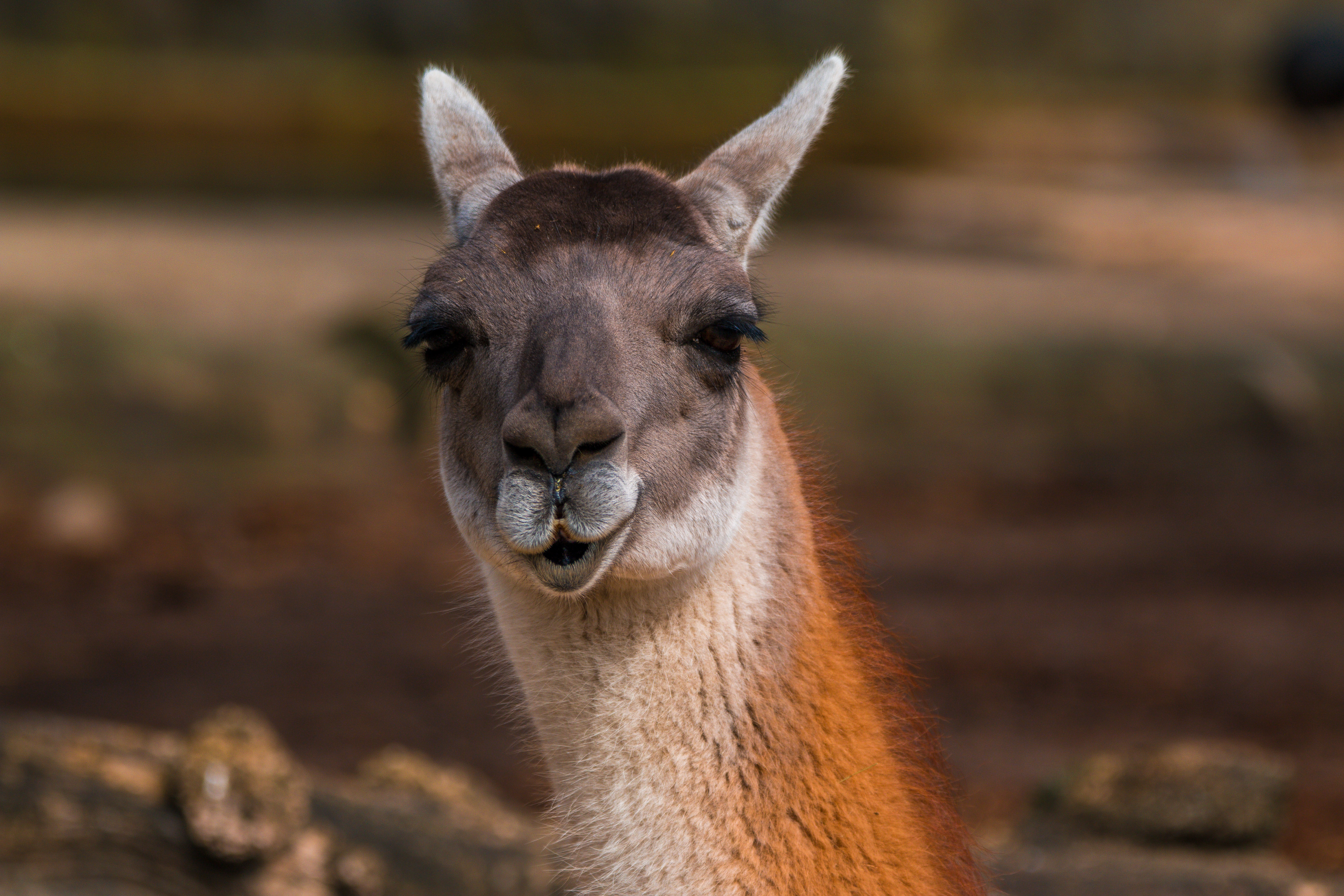 66172 download wallpaper Animals, Alpaca, Head, Muzzle, Cool screensavers and pictures for free