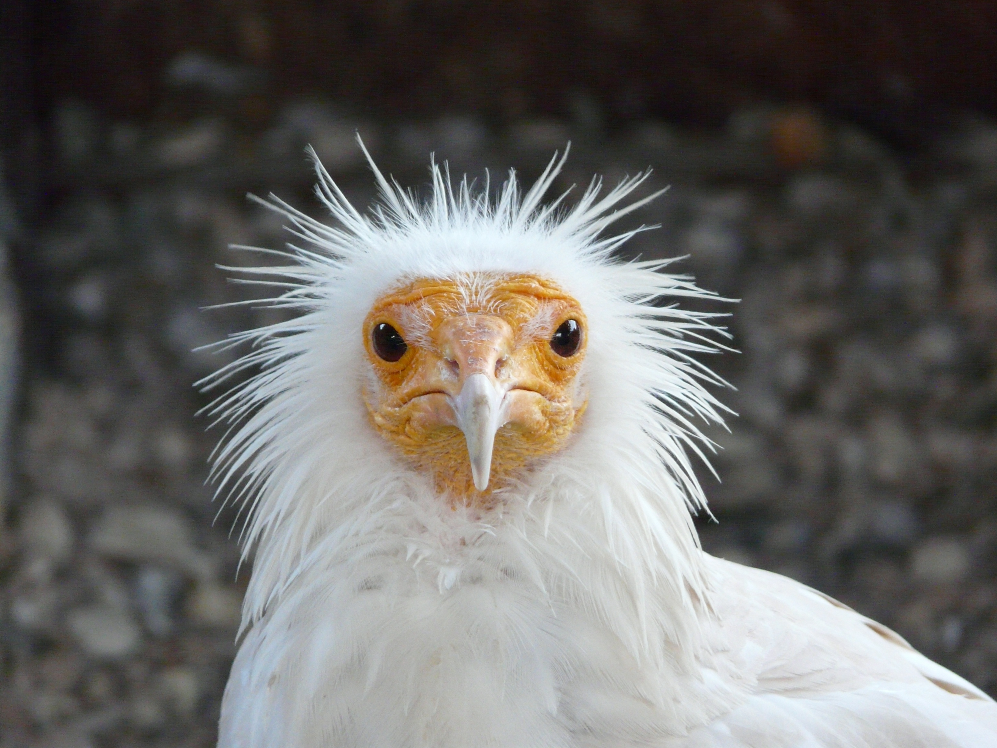 60461 download wallpaper Animals, Bird, Disheveled, Ruffled, Cool screensavers and pictures for free