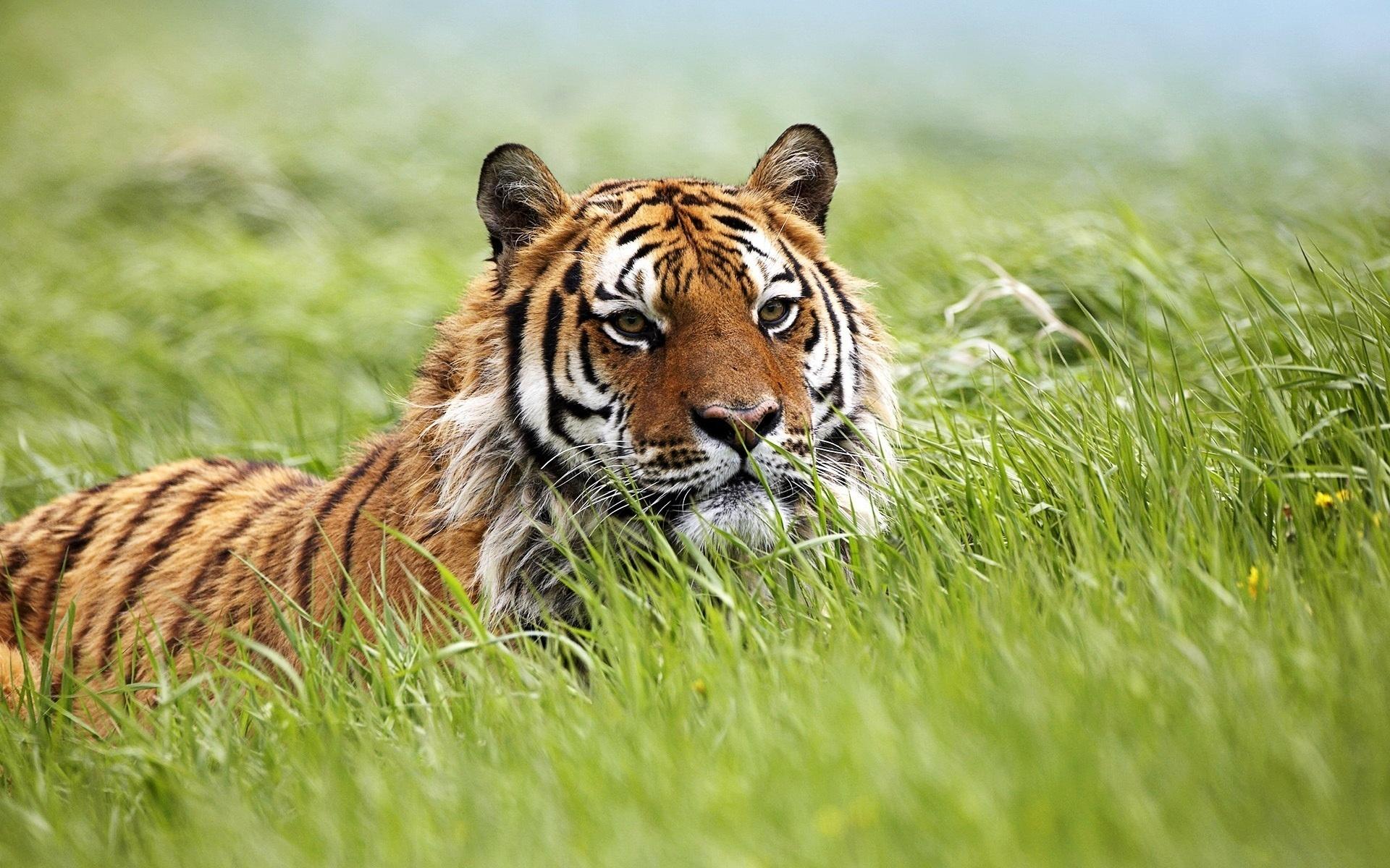 41669 descargar fondo de pantalla Animales, Tigres: protectores de pantalla e imágenes gratis