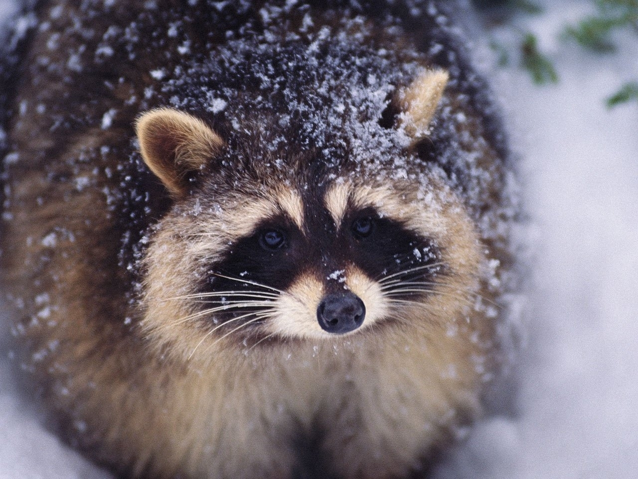 28632 download wallpaper Animals, Raccoons screensavers and pictures for free