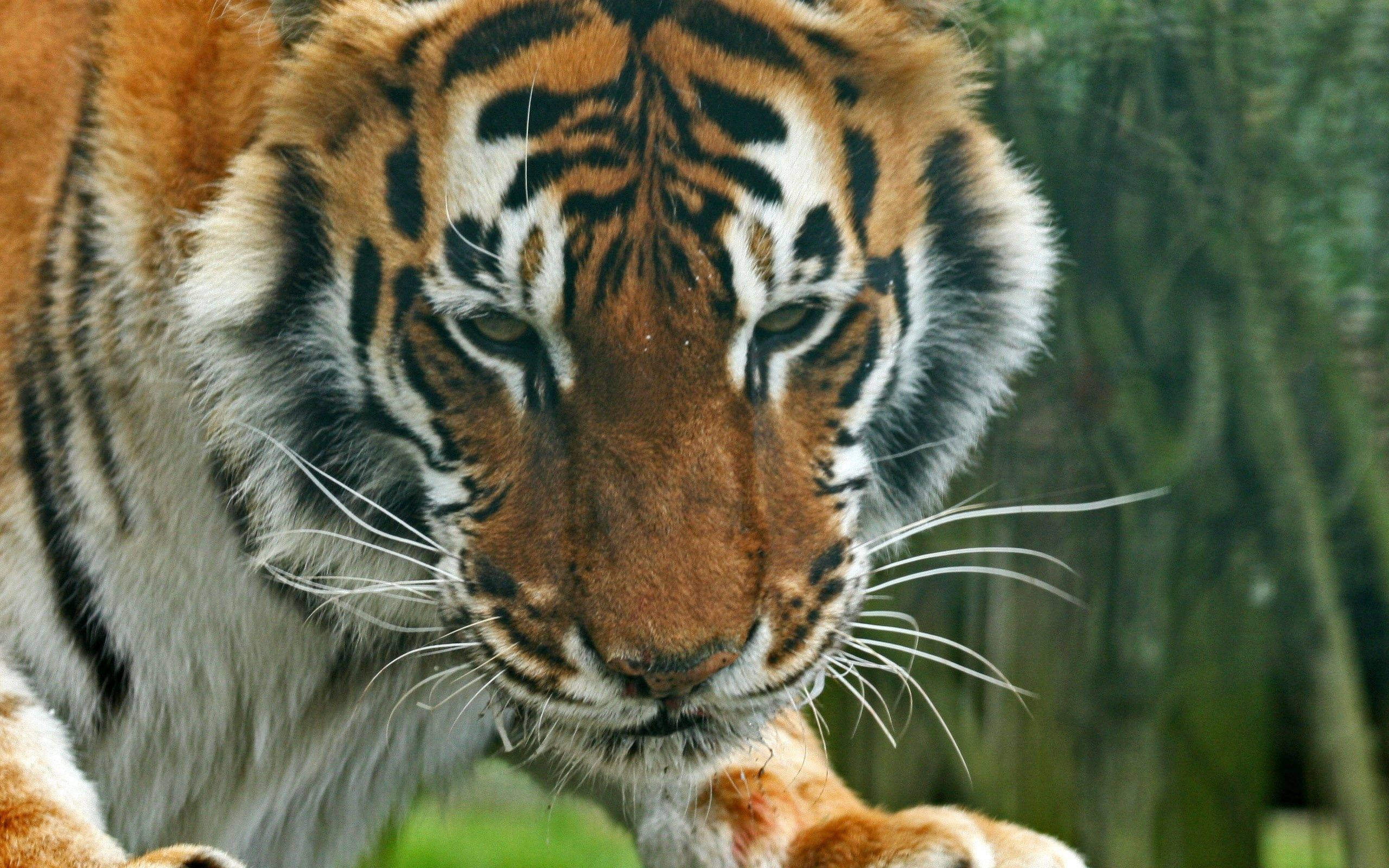 86038 Screensavers and Wallpapers Striped for phone. Download Animals, Muzzle, Striped, Predator, Sight, Opinion, Tiger pictures for free